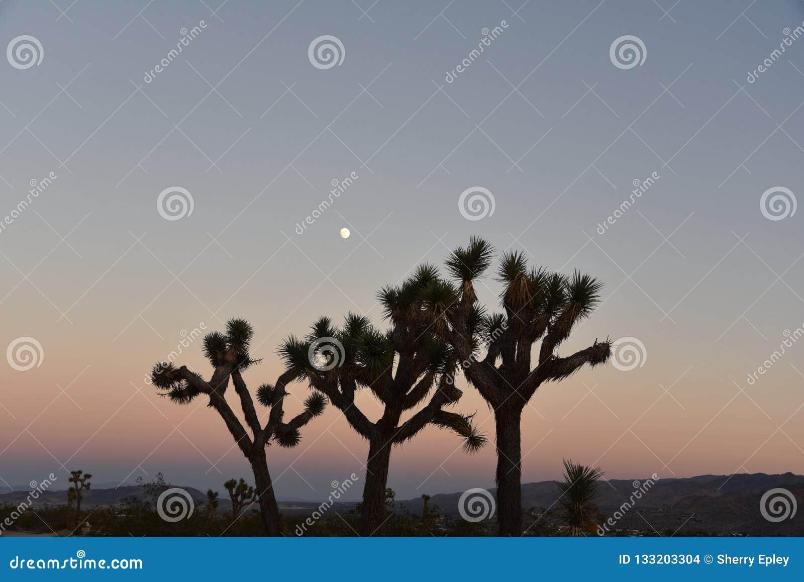 California Joshua Tree Cactus all aumento della luna e di tramonto