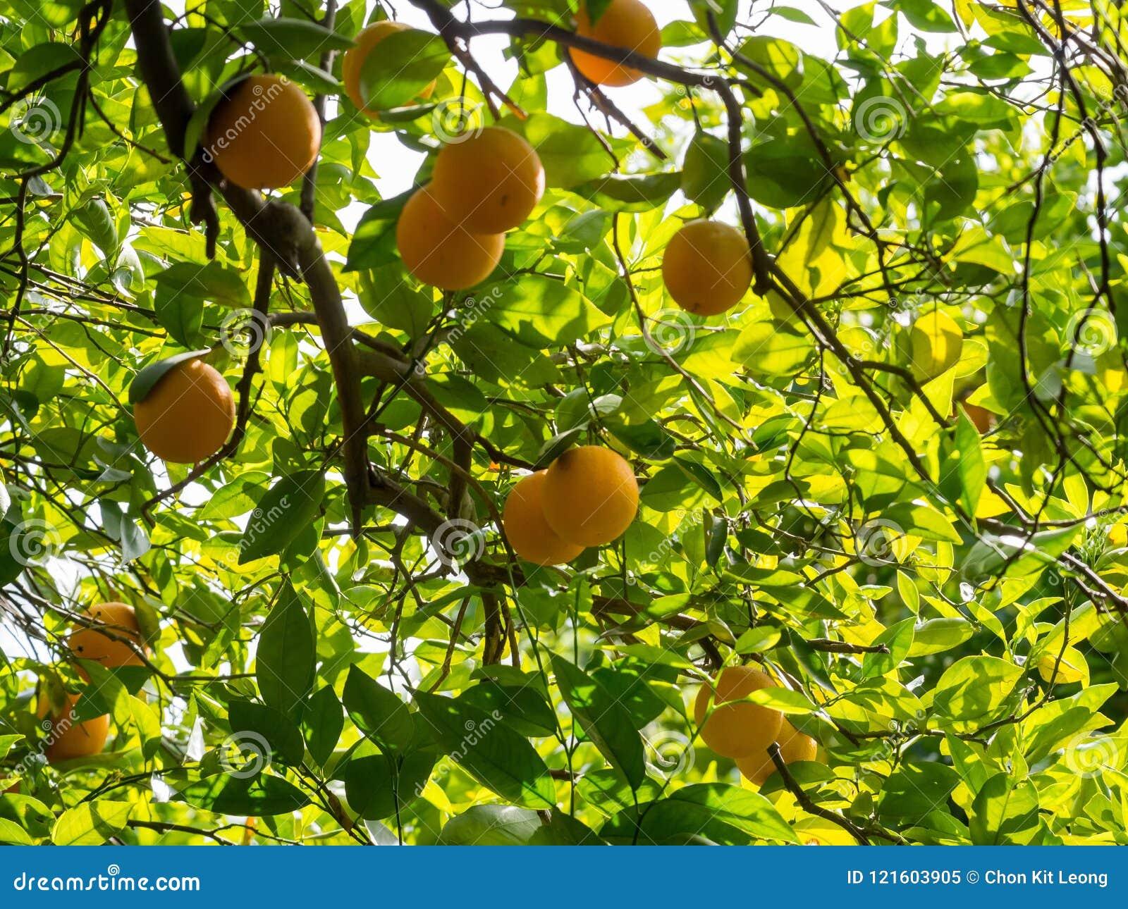 Mature fruit trees sold in california