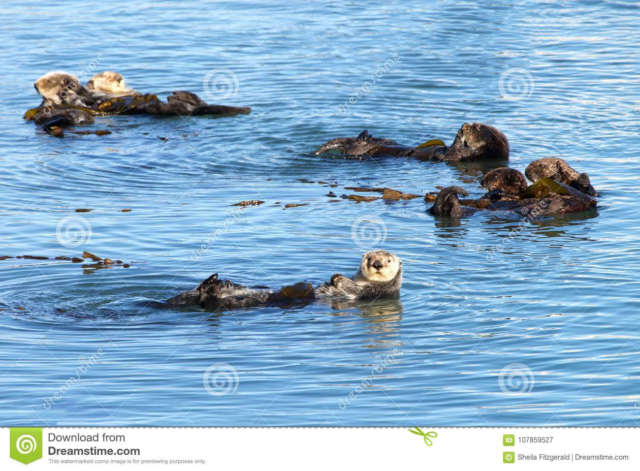 California Otters playing and bathing in shallow waters