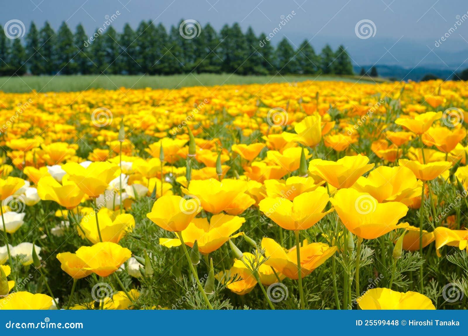 California pola kwiatu maczek