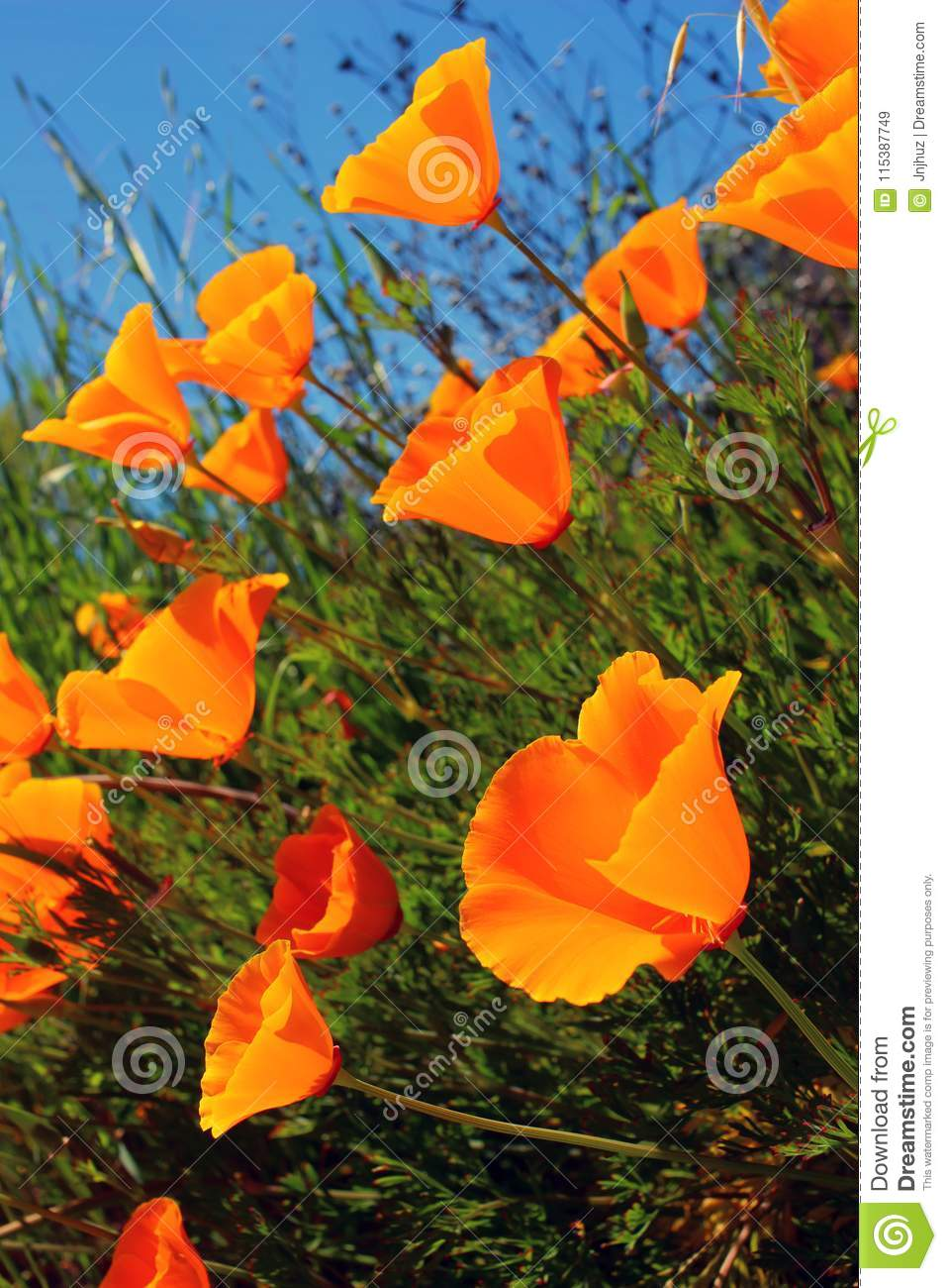 California Poppy Flowers Growing Wild Stock Image Image Of Ground