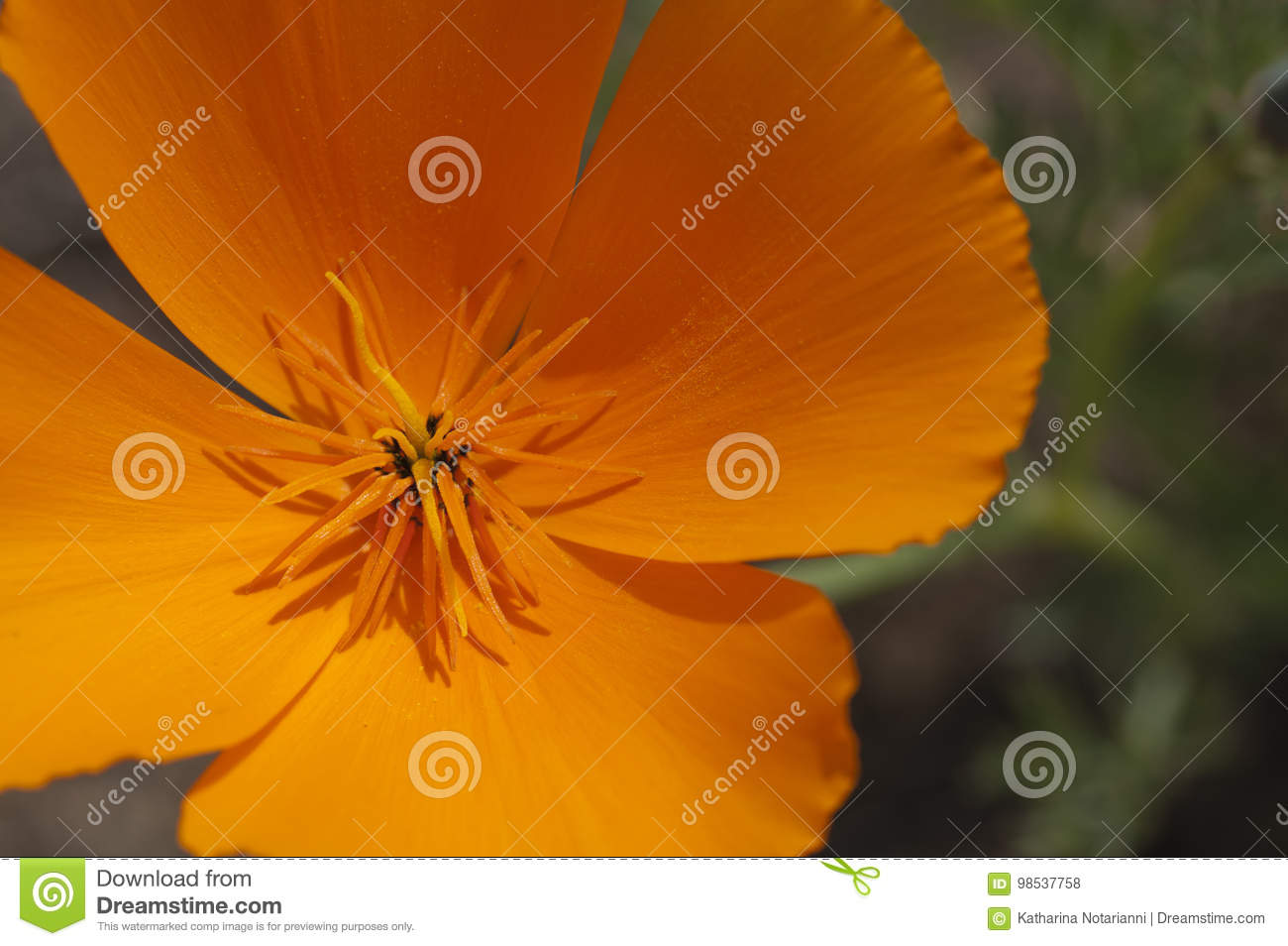 California Poppy Close-up