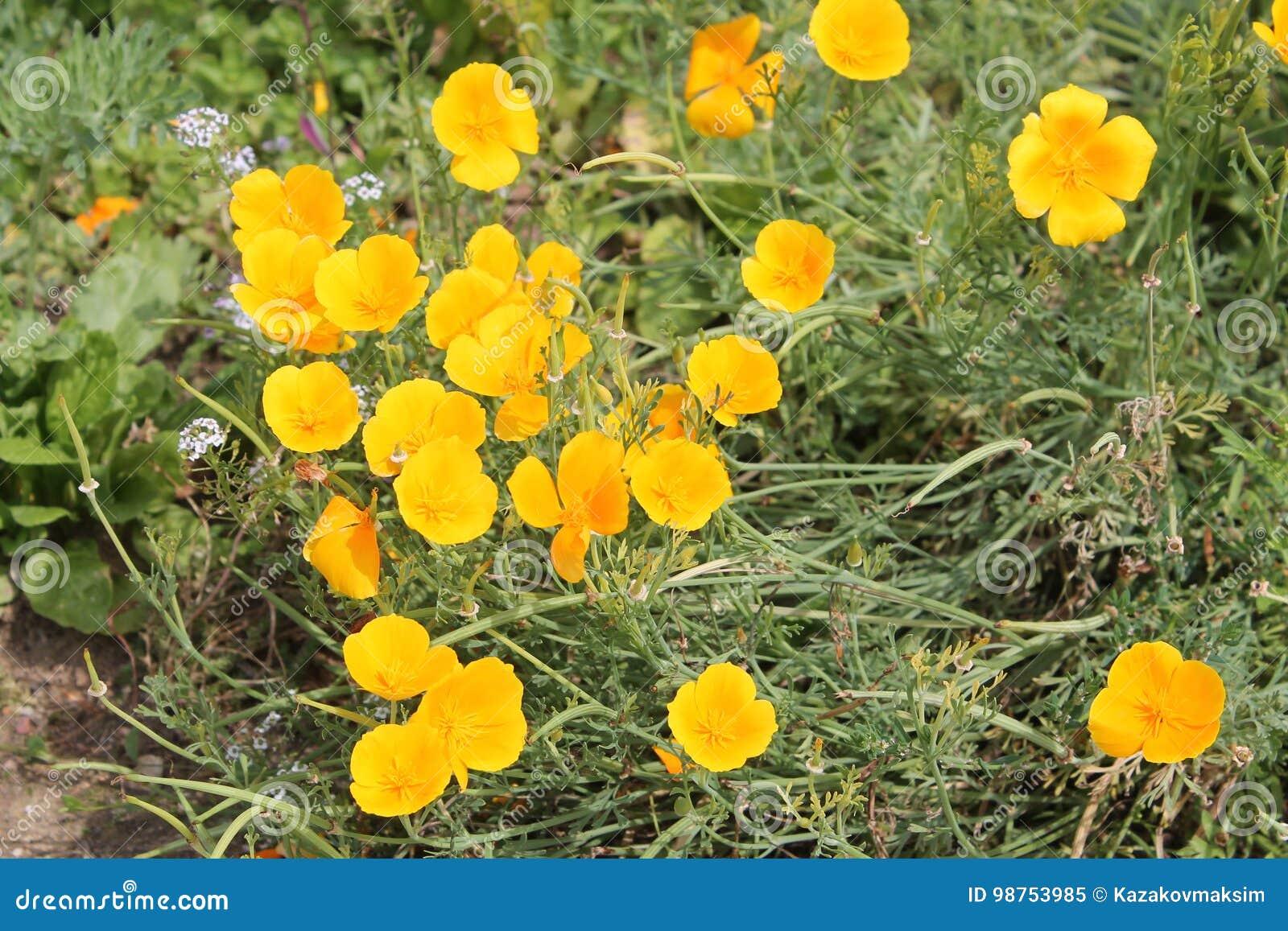 California Poppy Or Eschscholzia Californica Yellow Flowers Stock