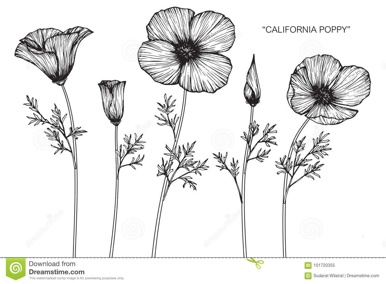 California Poppy Flowers Drawing And Sketch Stock Illustration