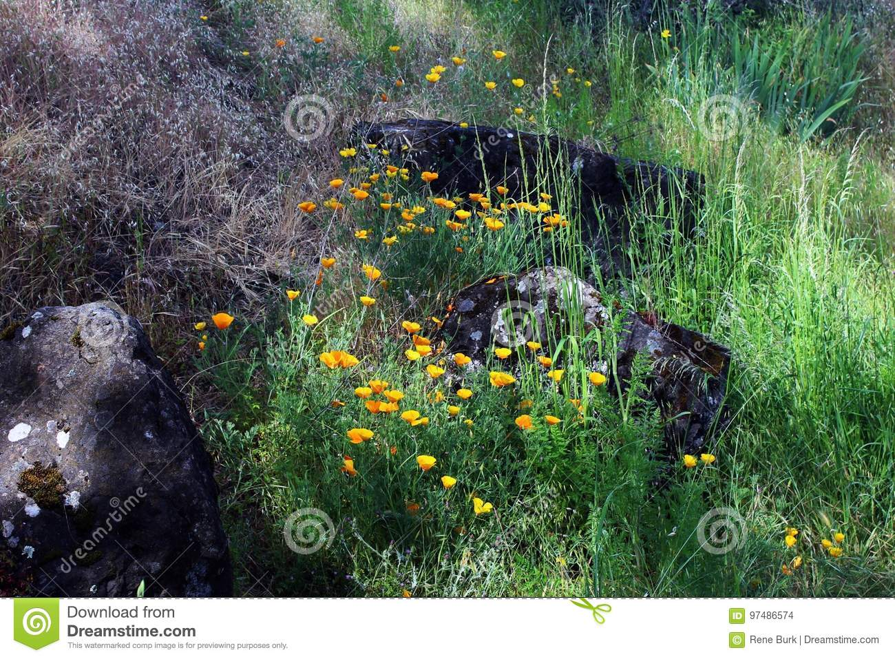 California Poppy Landscape
