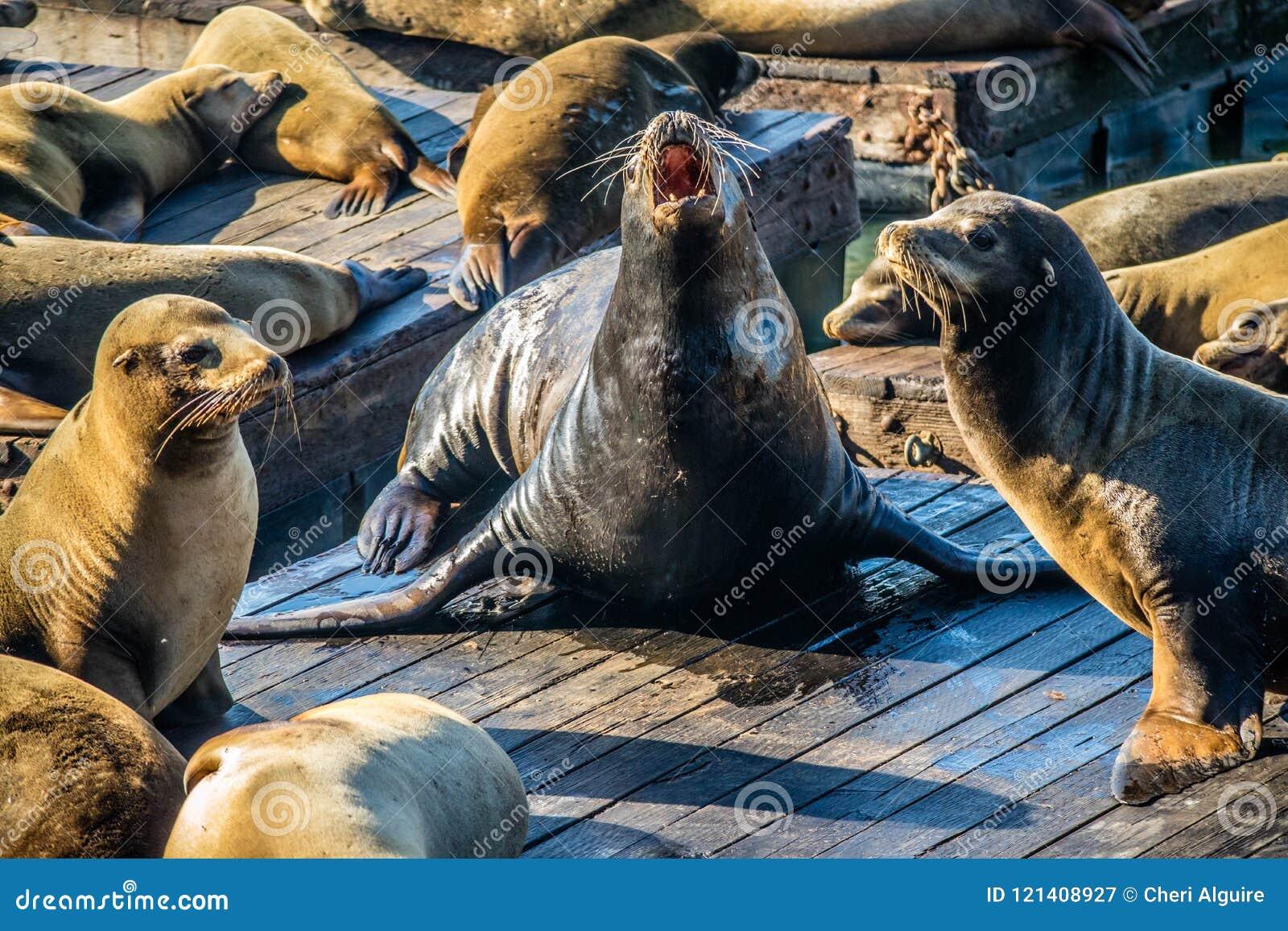 California Sea Lion in San Francisco, California