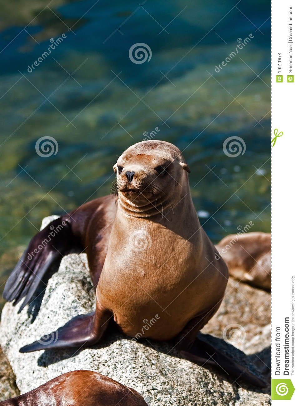 California sea lion in sun