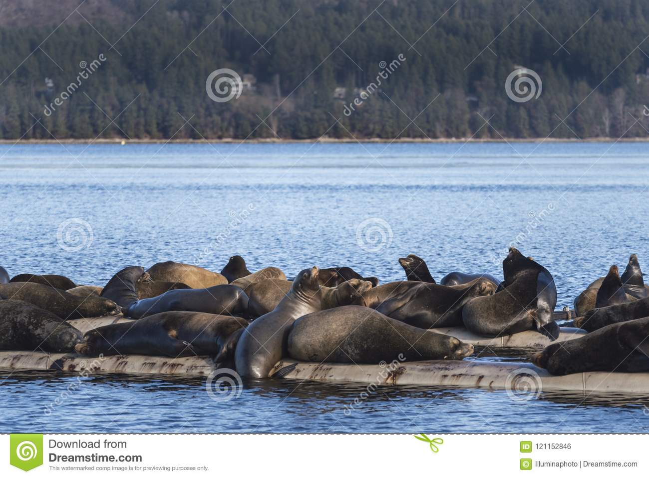 California Sea Lions at Fanny Bay, eastern Vancouver Island, Bri