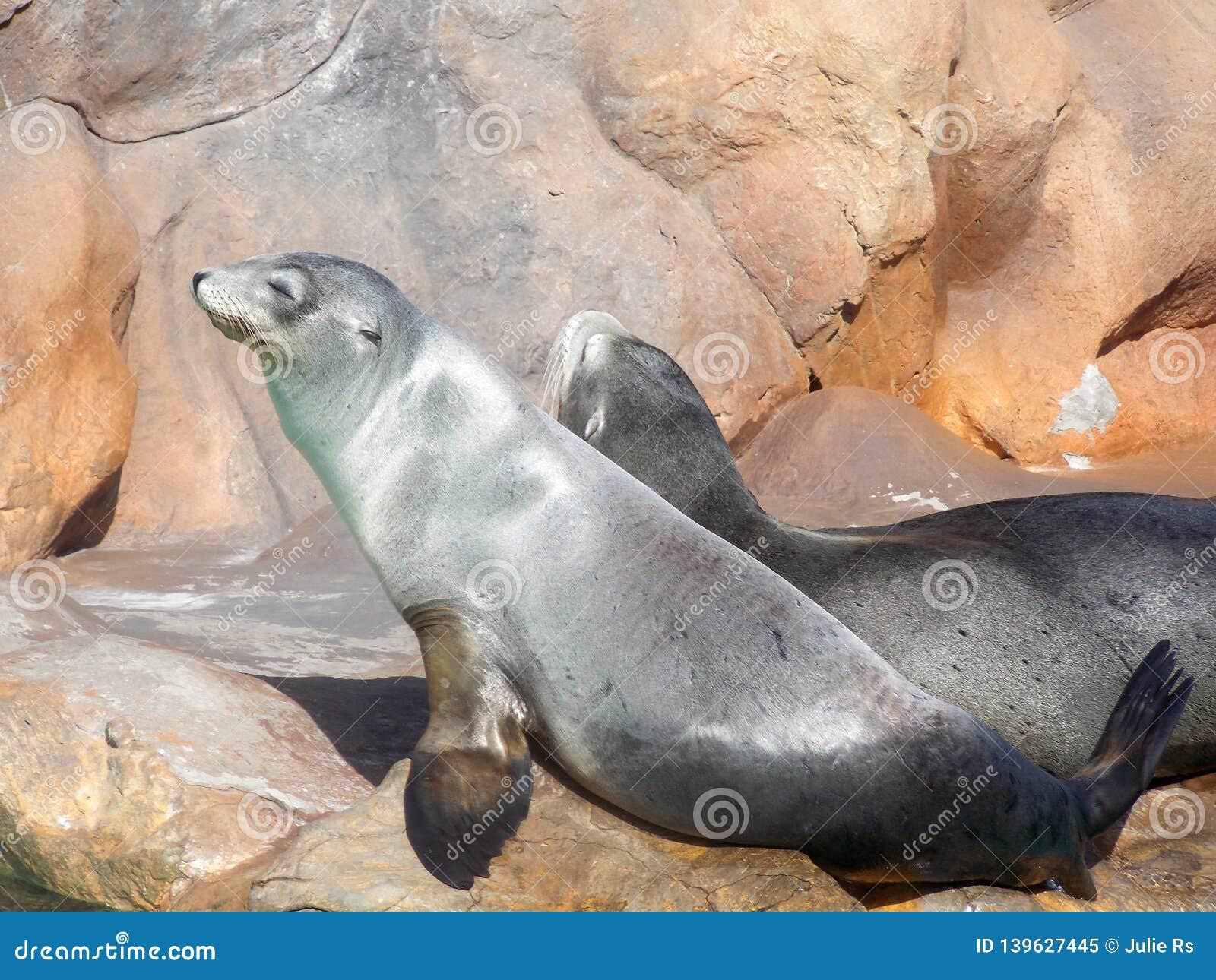 California sea lions in Siam Park, Tenerife