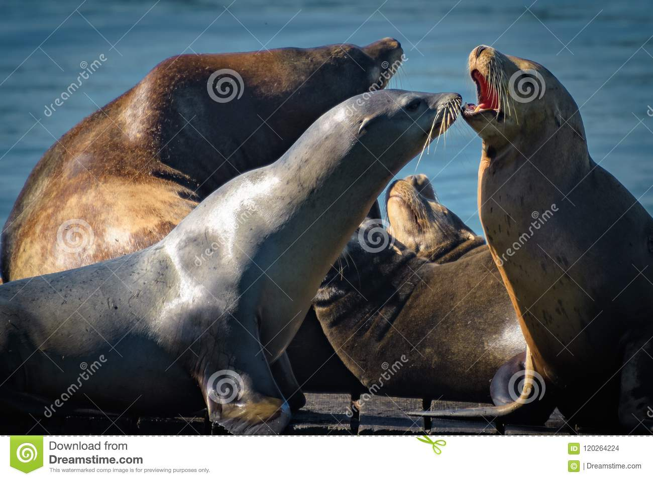 California Sea Lions out in the sun
