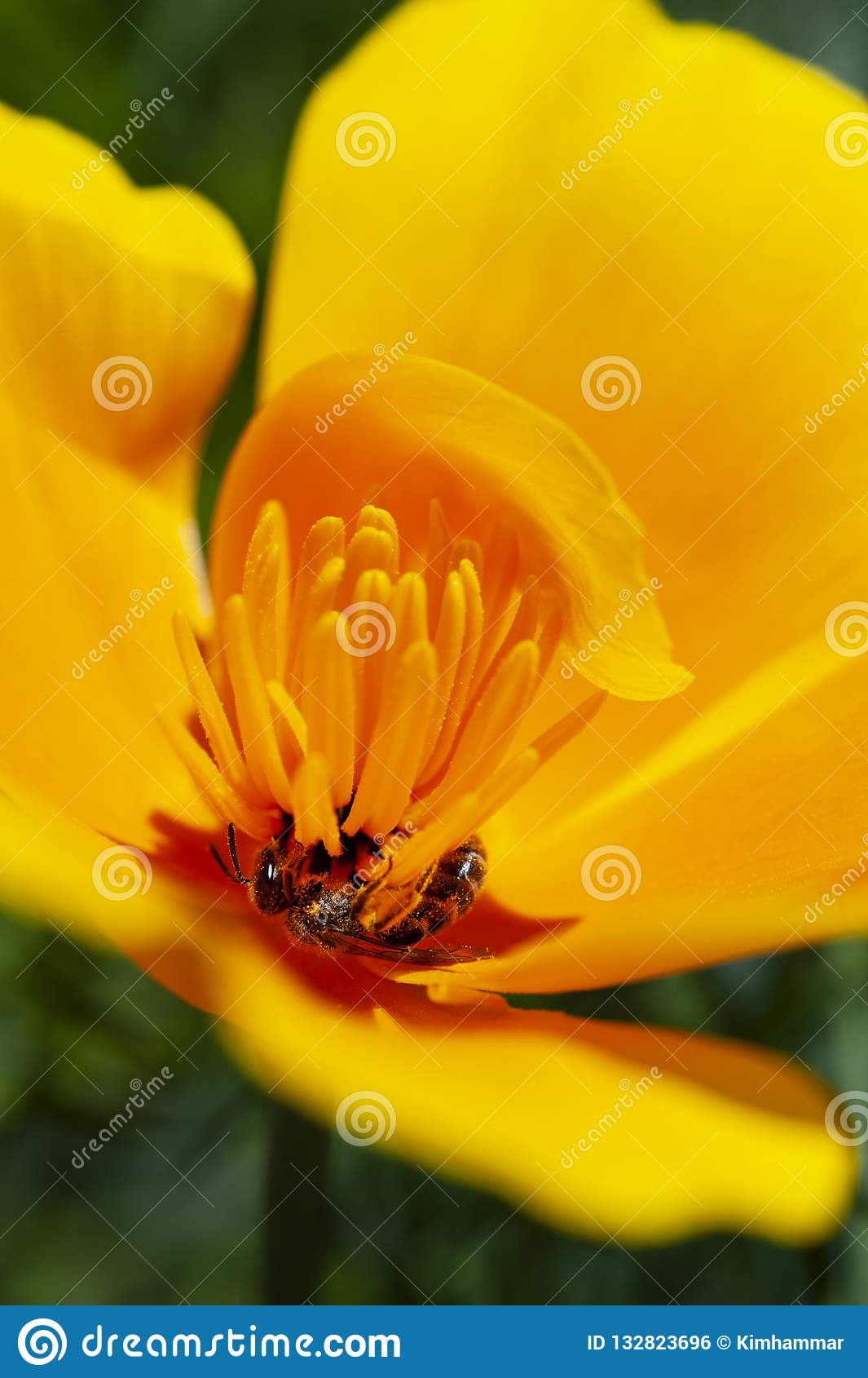 The California state flower, the California poppy, opens its petals daily for the sun and pollination.