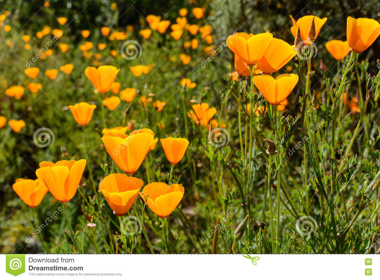 California State Flower Poppy Stock Photo Image Of Poppy