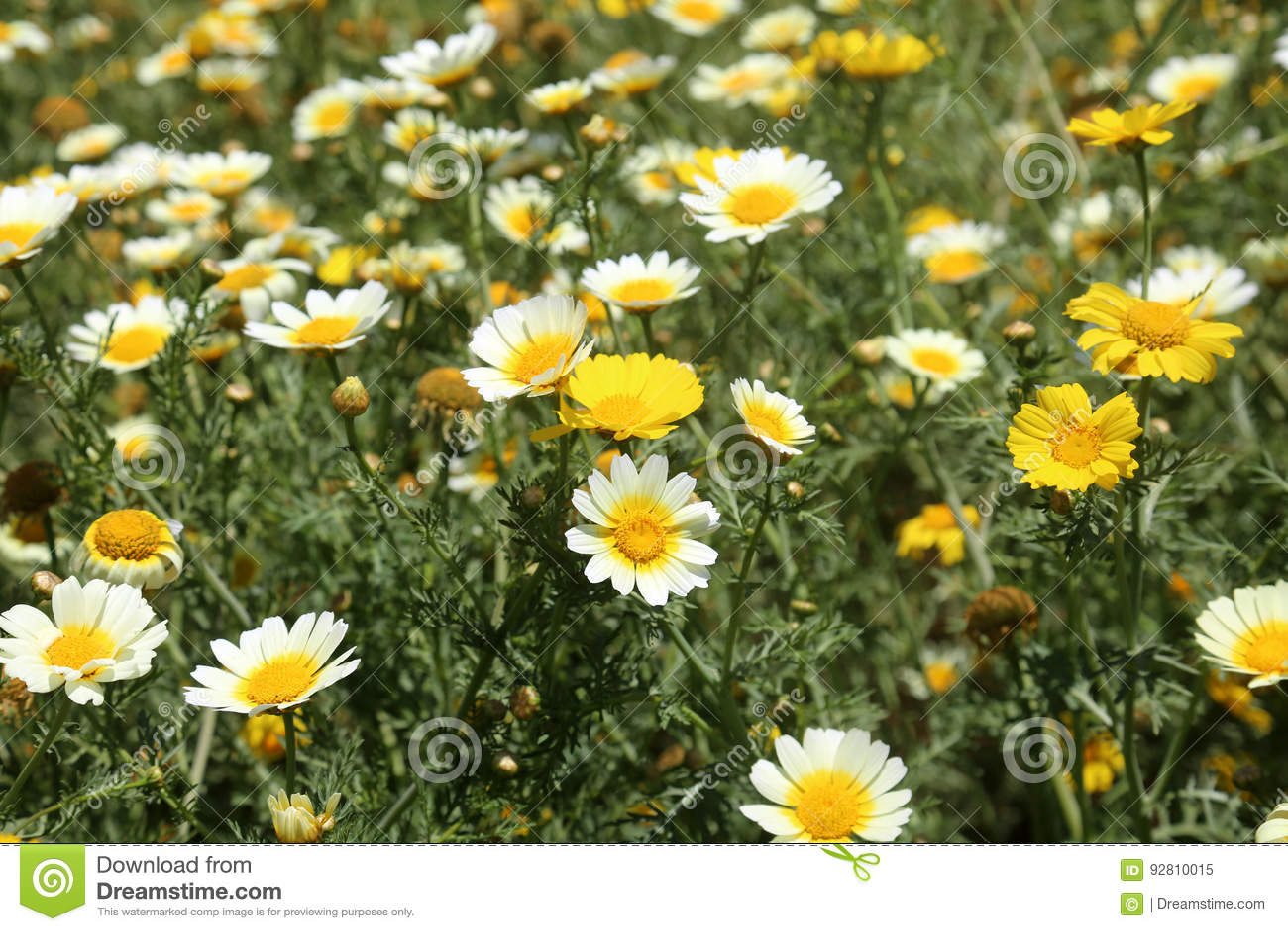 California wild flowers daisies stock image image of national download california wild flowers daisies stock image image of national beauty 92810015 izmirmasajfo