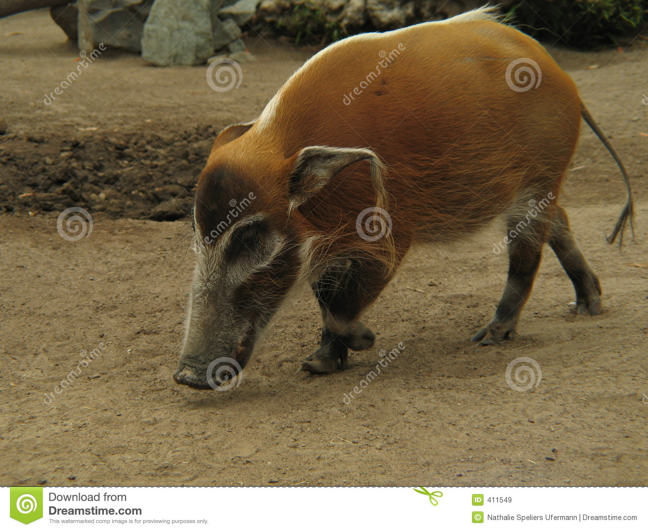 california wild pig royalty free stock images image 411549 clipart of earth globe clipart of earth globe