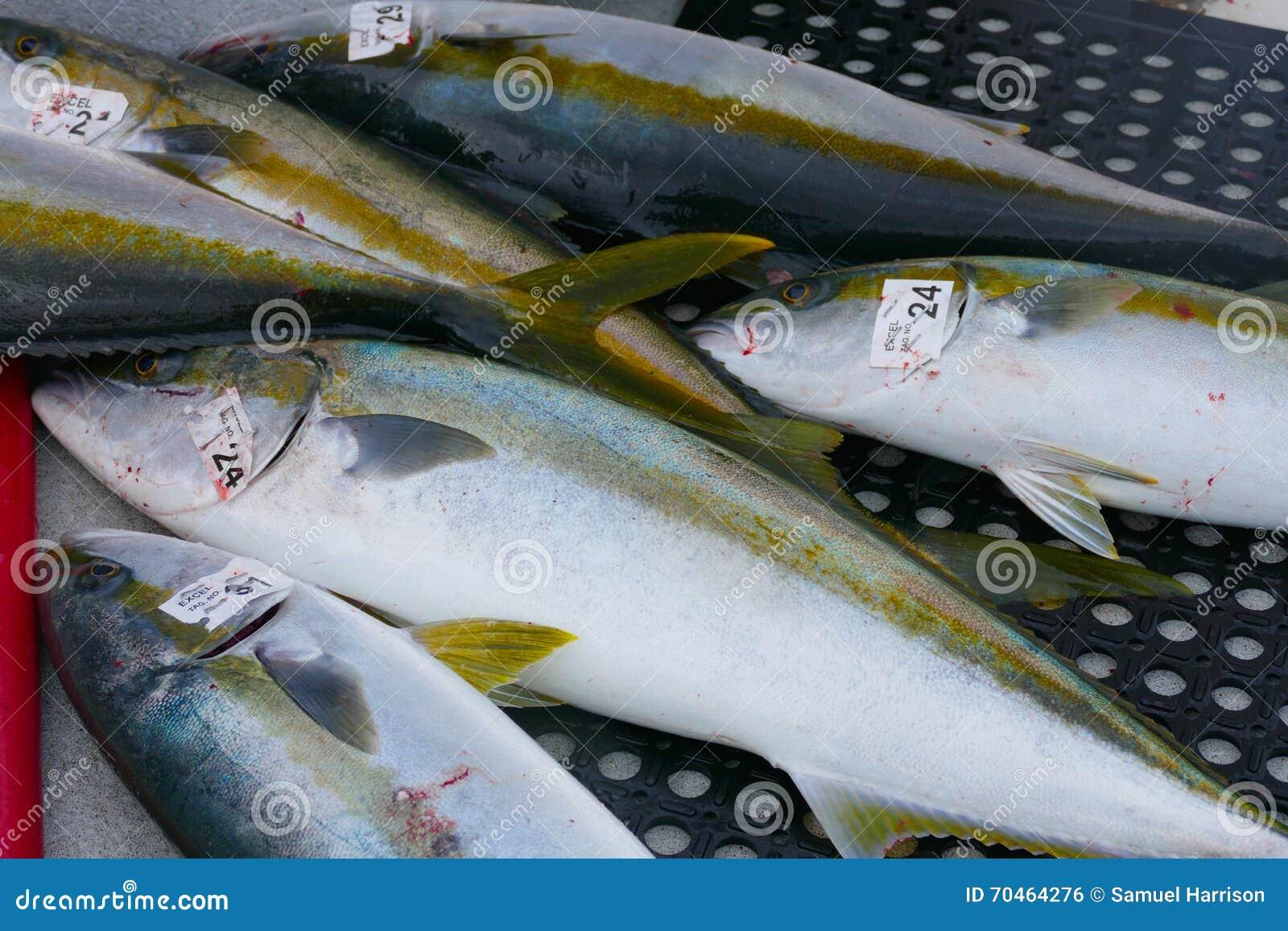California yellowtail fish stock photo  Image of cleaning