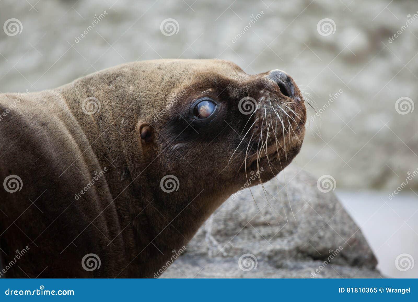 Californianus Zalophus морсого льва Калифорнии