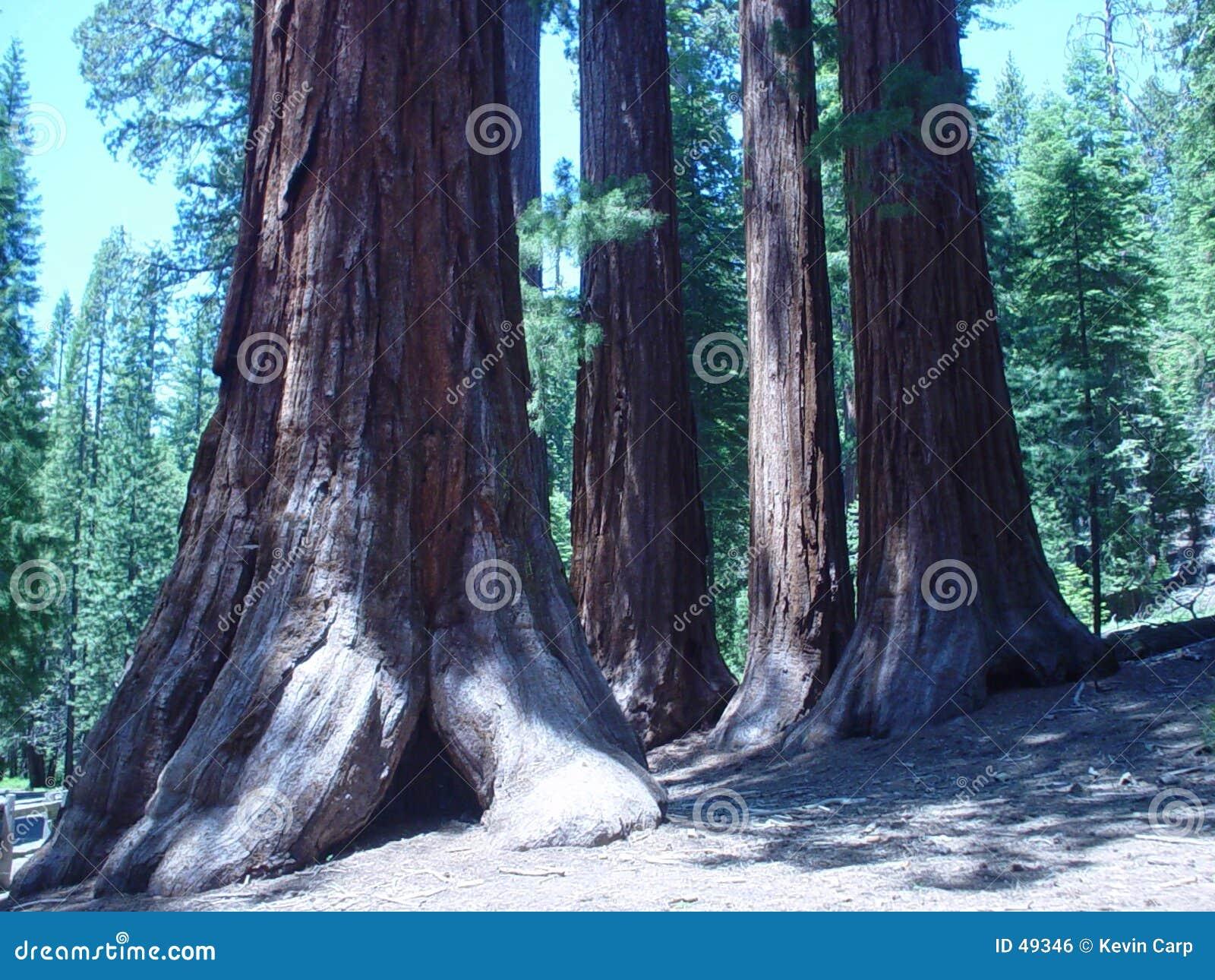Californische sequoia s
