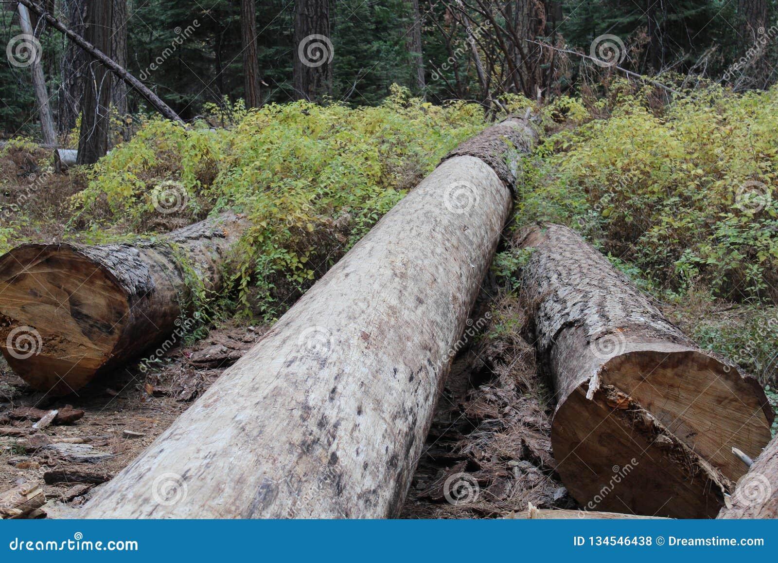 Californische sequoia s als sleeptellers die worden gebruikt