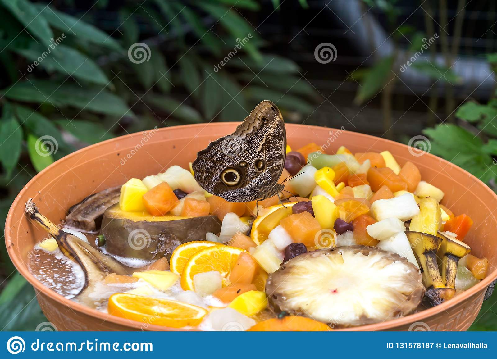 Caligo Eurilochus Butterfly Eating Fruits, Ventral View Stock Image