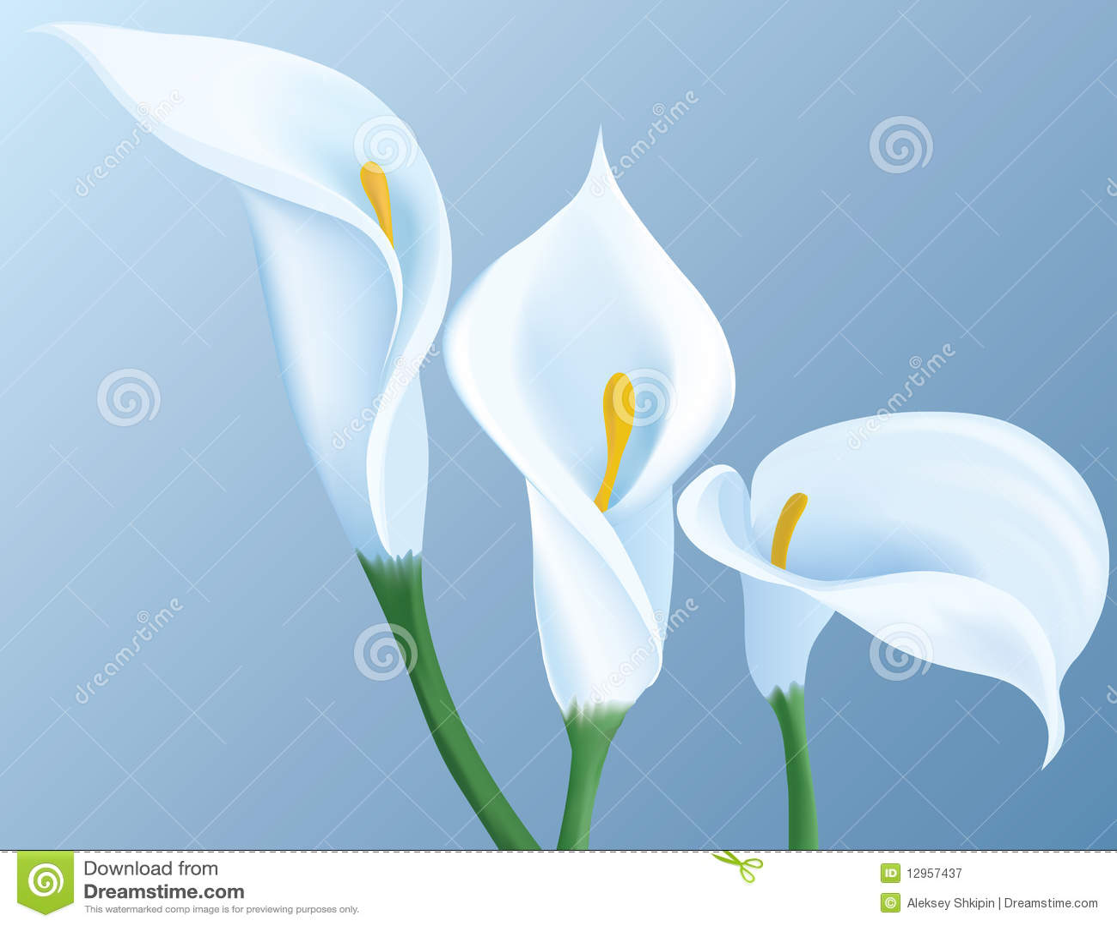 Calla λουλούδια