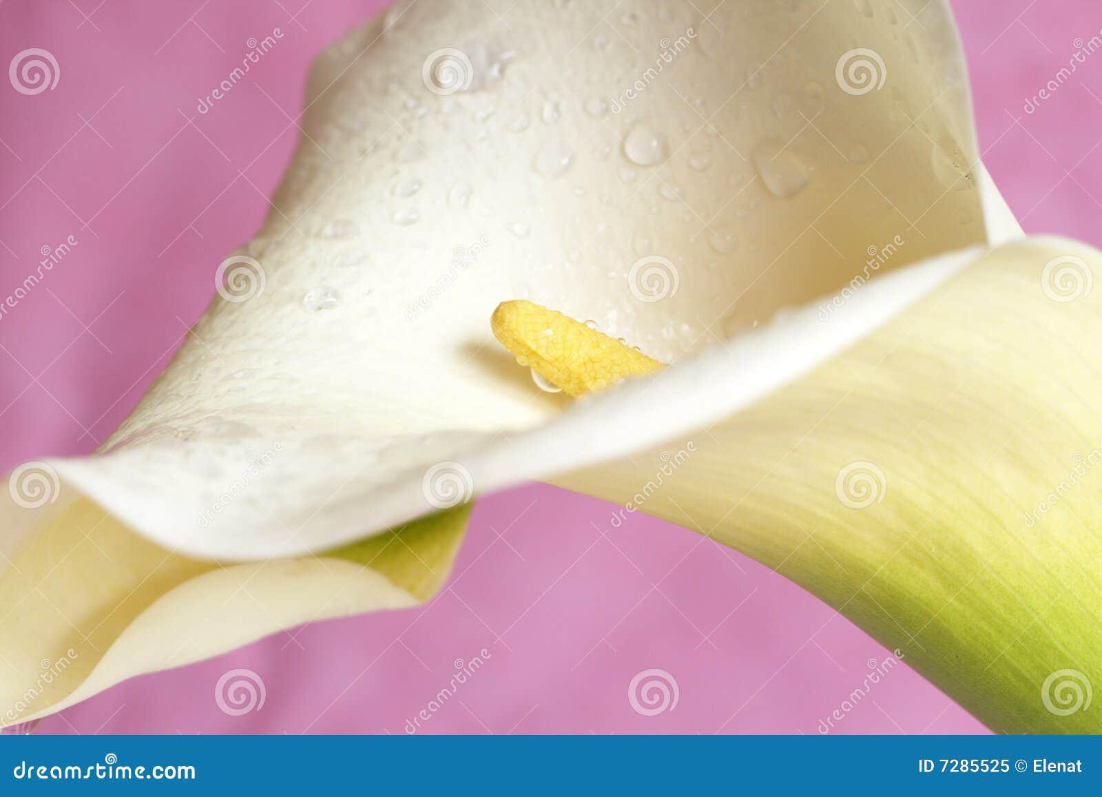 Calla bonito lilly na cor-de-rosa