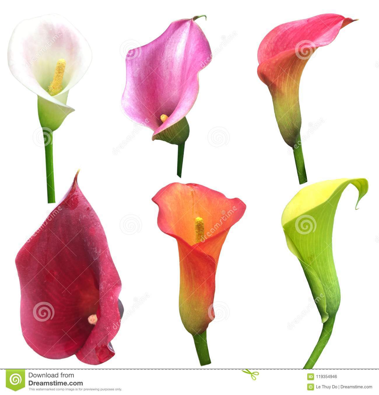 Calla Lilly Collection Stock Photo Image Of Orange 119354946