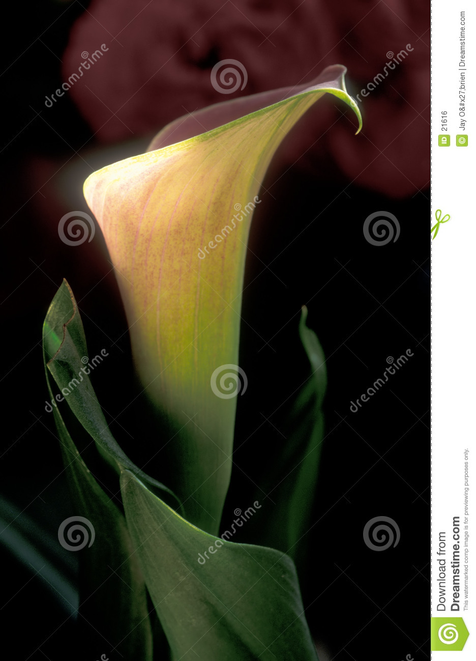 Calla Lilly, two