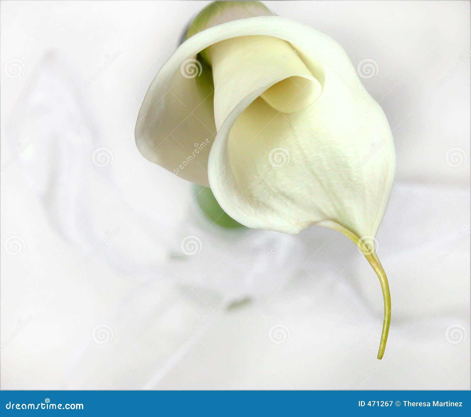 Download Calla Lily stock image. Image of calla, spring, still, life - 471267