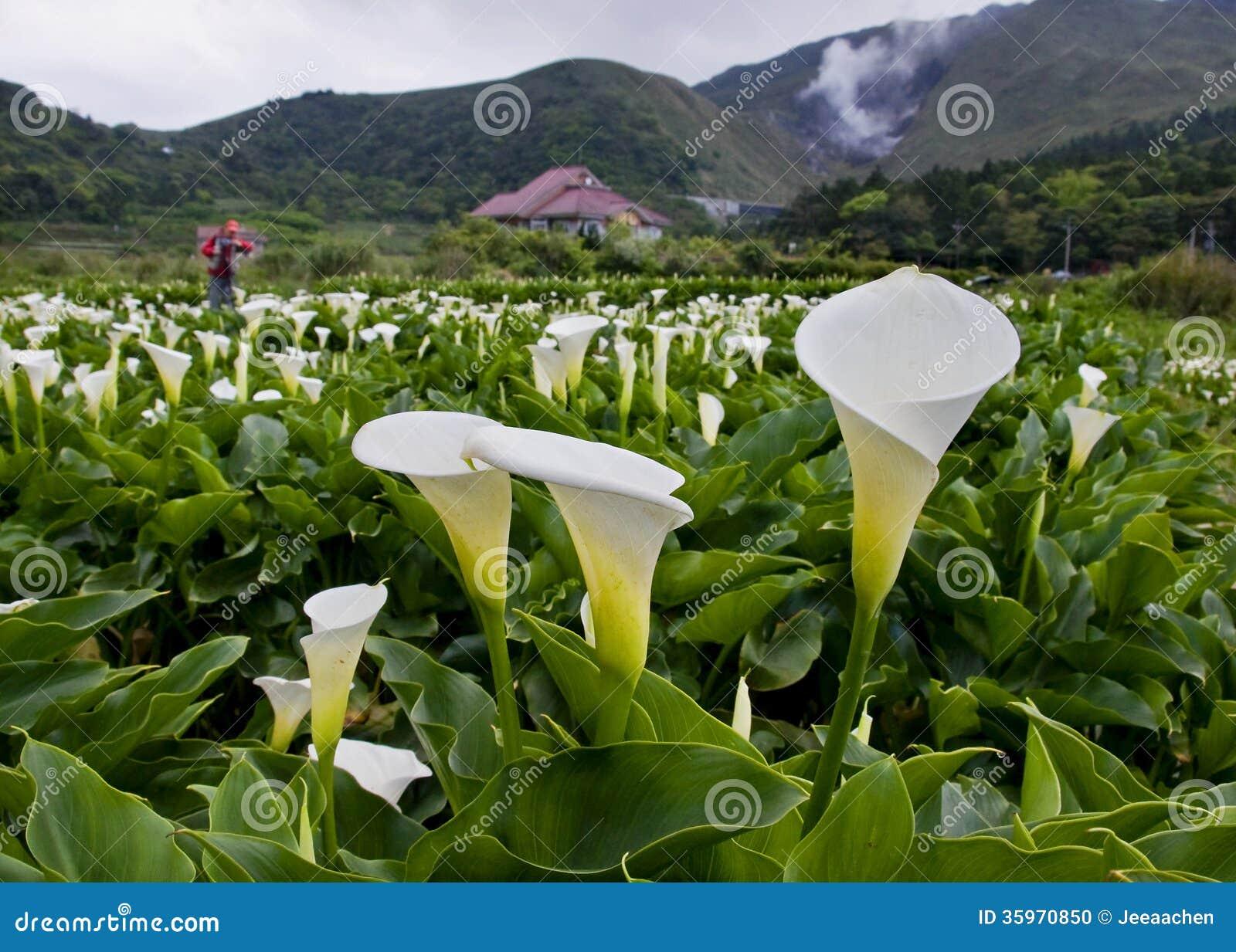 Цветы калла садовая фото
