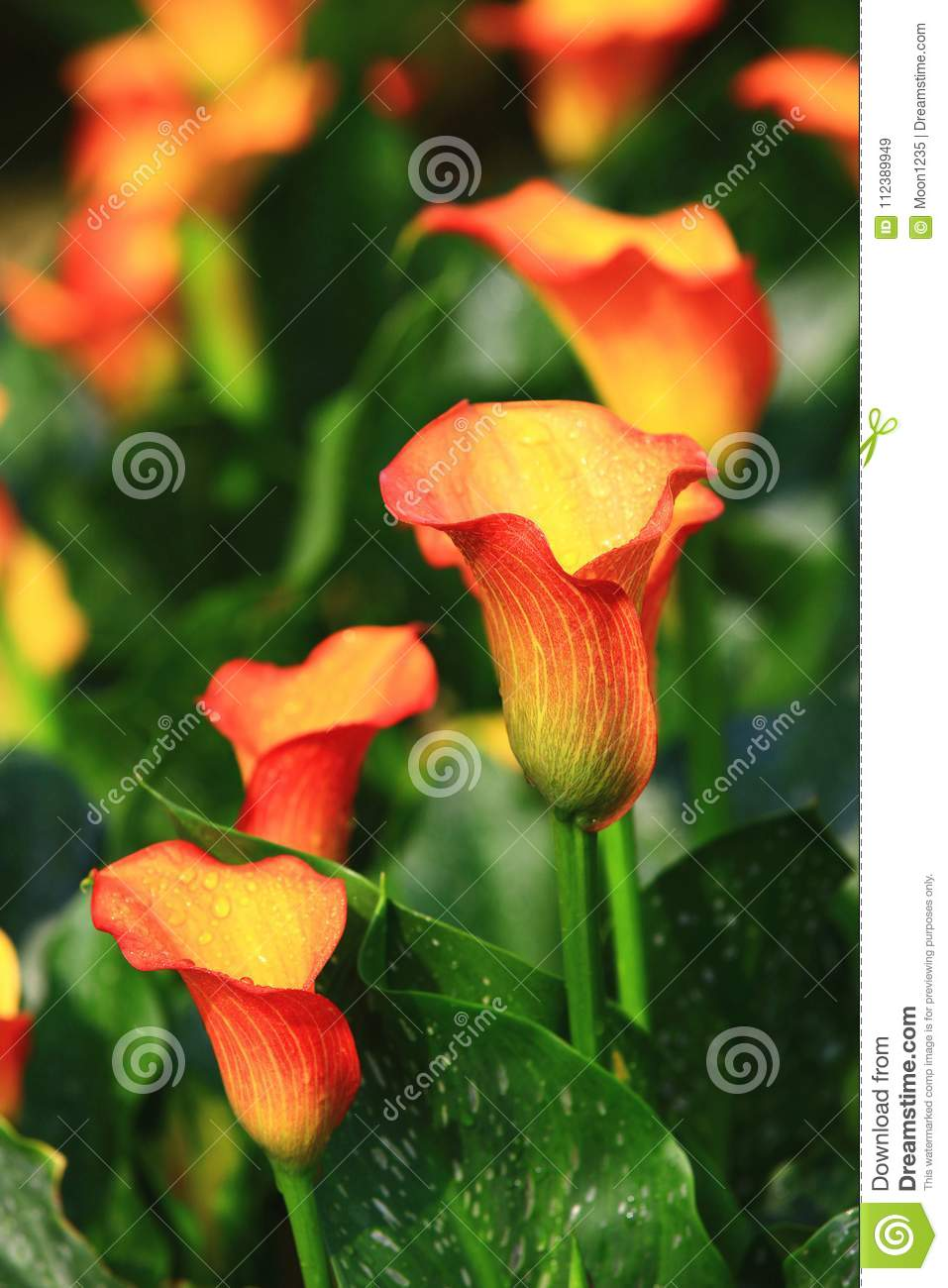 Calla Lily Field Closeup Stock Image Image Of Flower 112389949