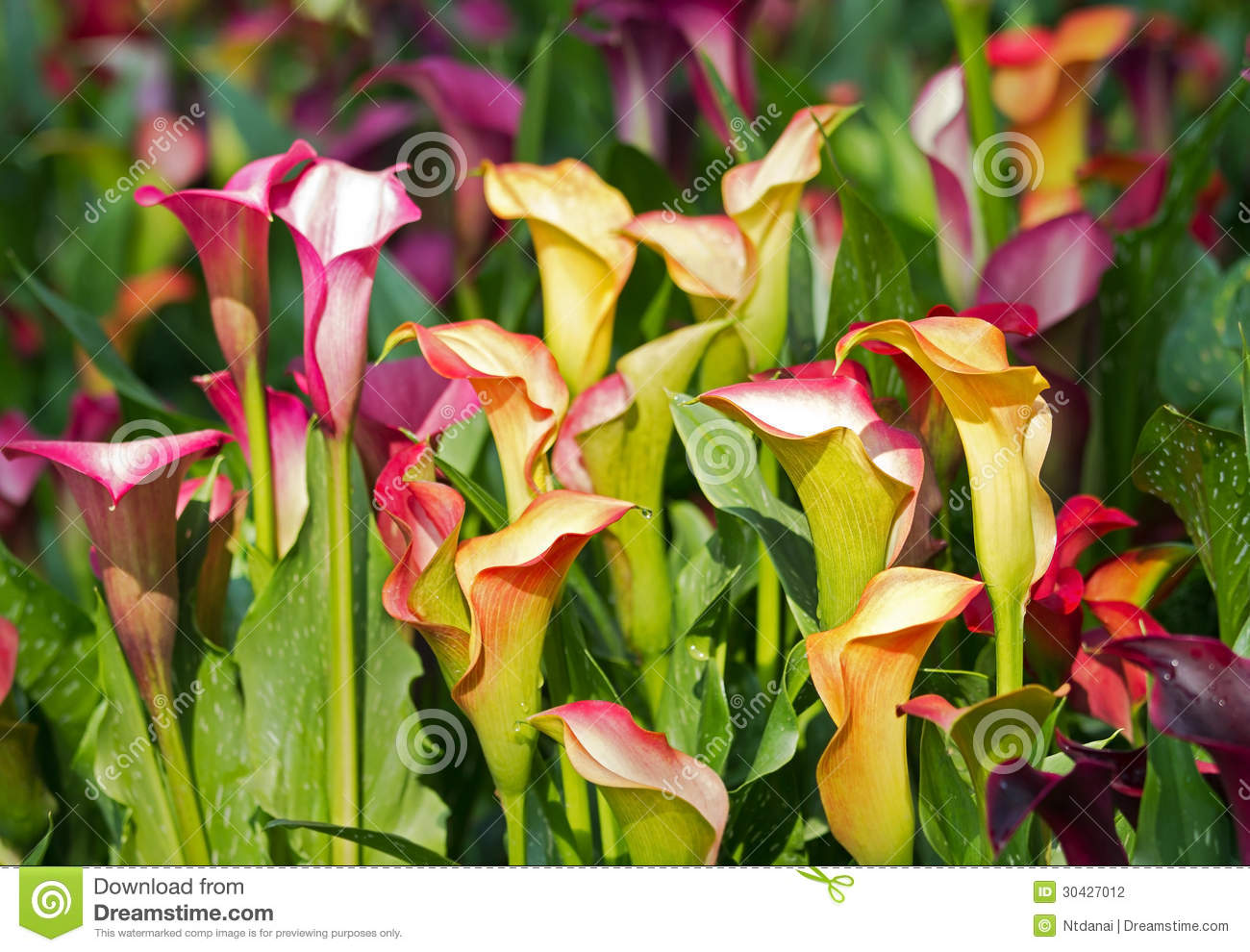 9 202 Calla Lily Photos Free Royalty Free Stock Photos From Dreamstime
