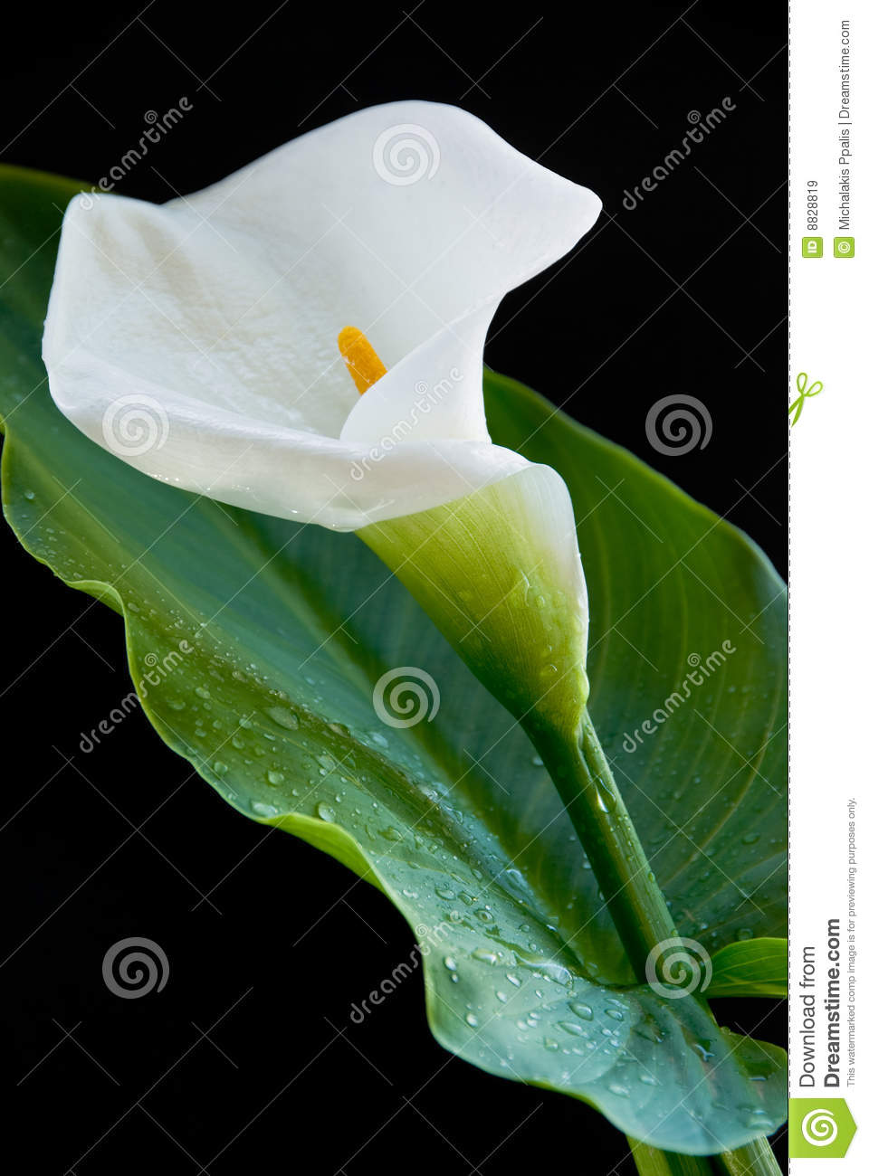 Calla lily flower stock image image of arum leaf plant 8828819 calla lily flower izmirmasajfo