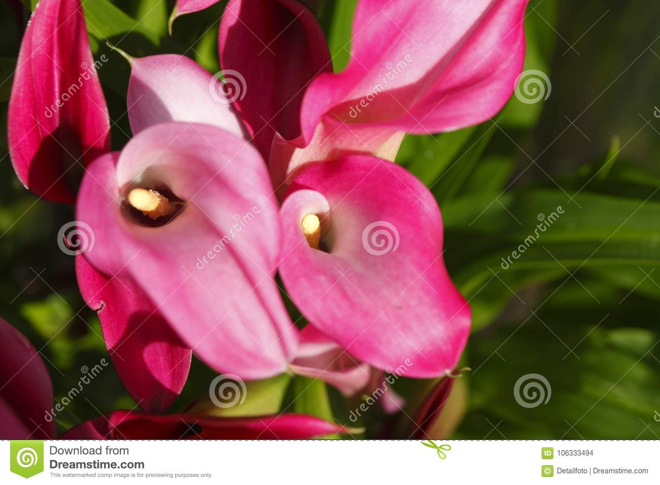 Calla Lily Flower Stock Photo Image Of Blossoms Callas 106333494