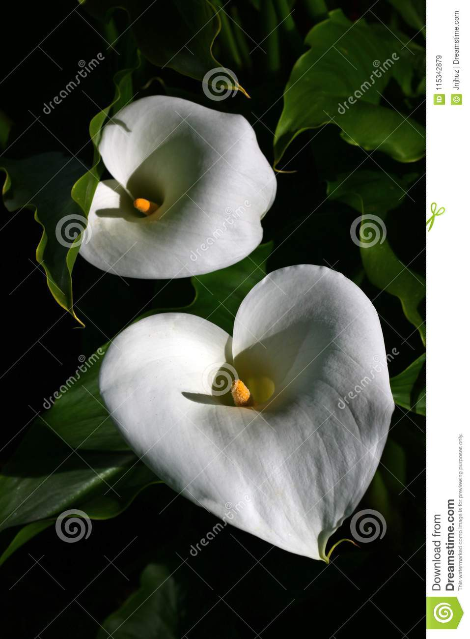 Calla lily flowers on black stock image image of nature leaves calla lily flowers on black izmirmasajfo