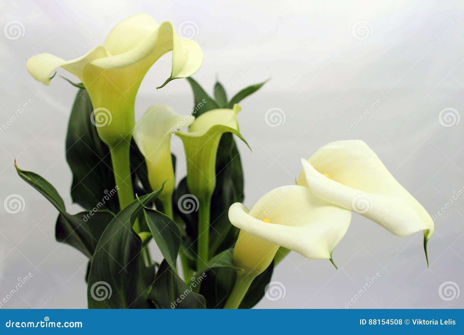 Calla lily flowers stock photo image of wedding beauty 88154508 calla lily flowers izmirmasajfo