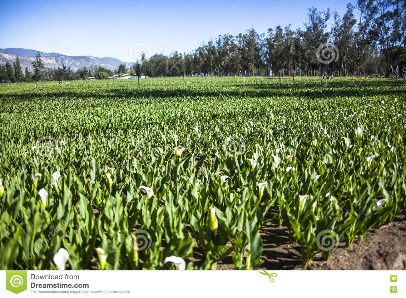 Calla lily plantation stock photo. Image of lilies, bloom ...