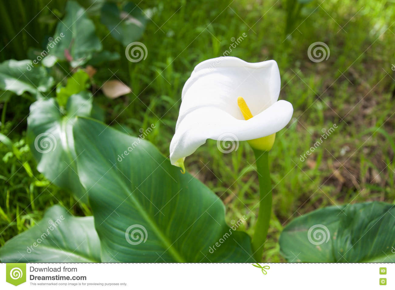 Calla Lily Western Australia Flowering Weed Stock Photo Image Of