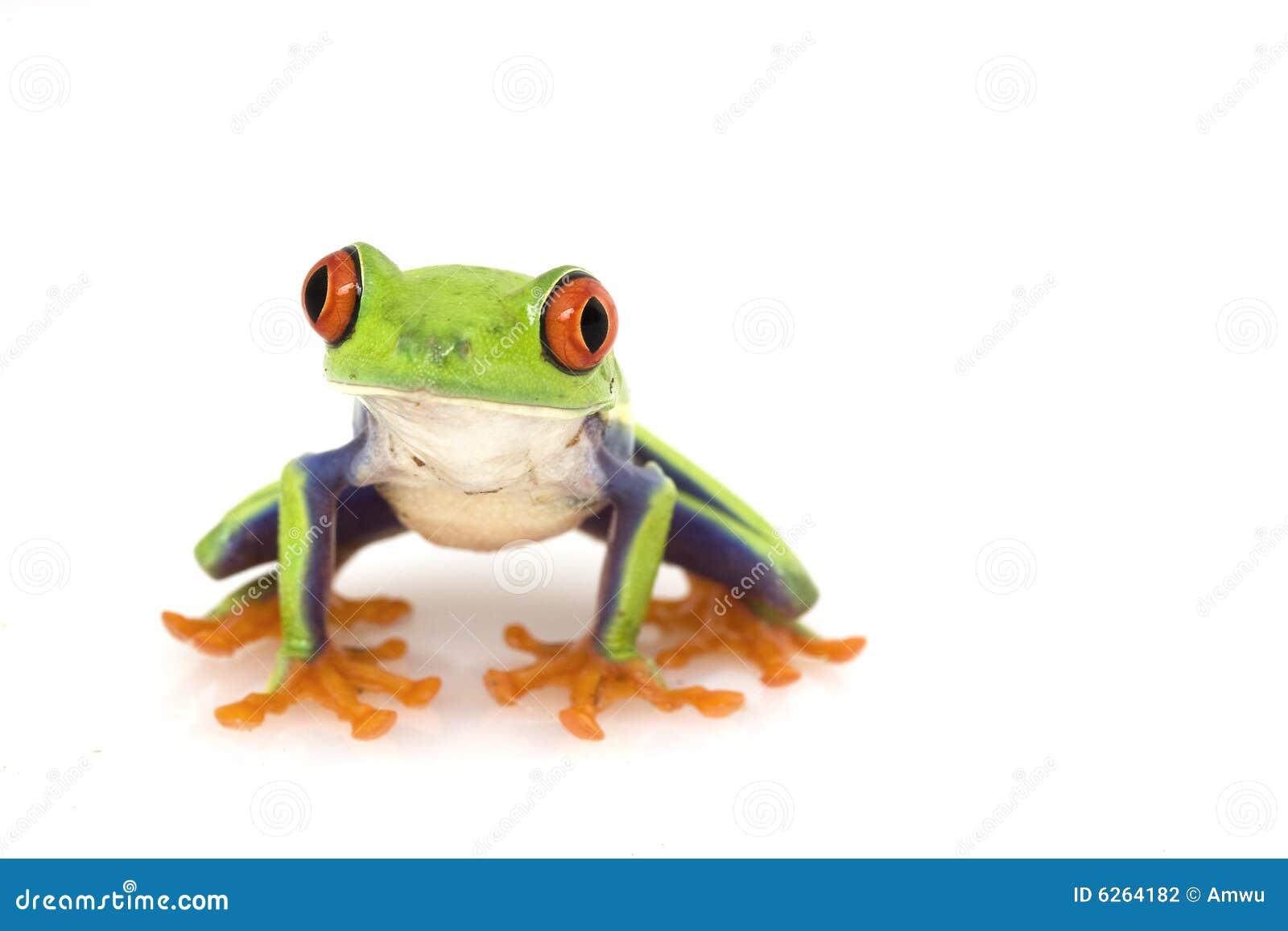 Callidryas agalychnis eyed вал красного цвета лягушки