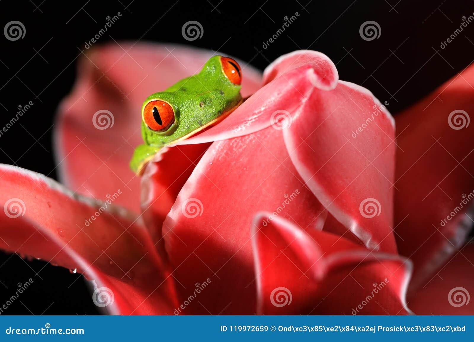 Callidryas de Agalychnis, rana arbórea de ojos enrojecidos, animal con los ojos rojos grandes, en hábitat de la naturaleza, Costa
