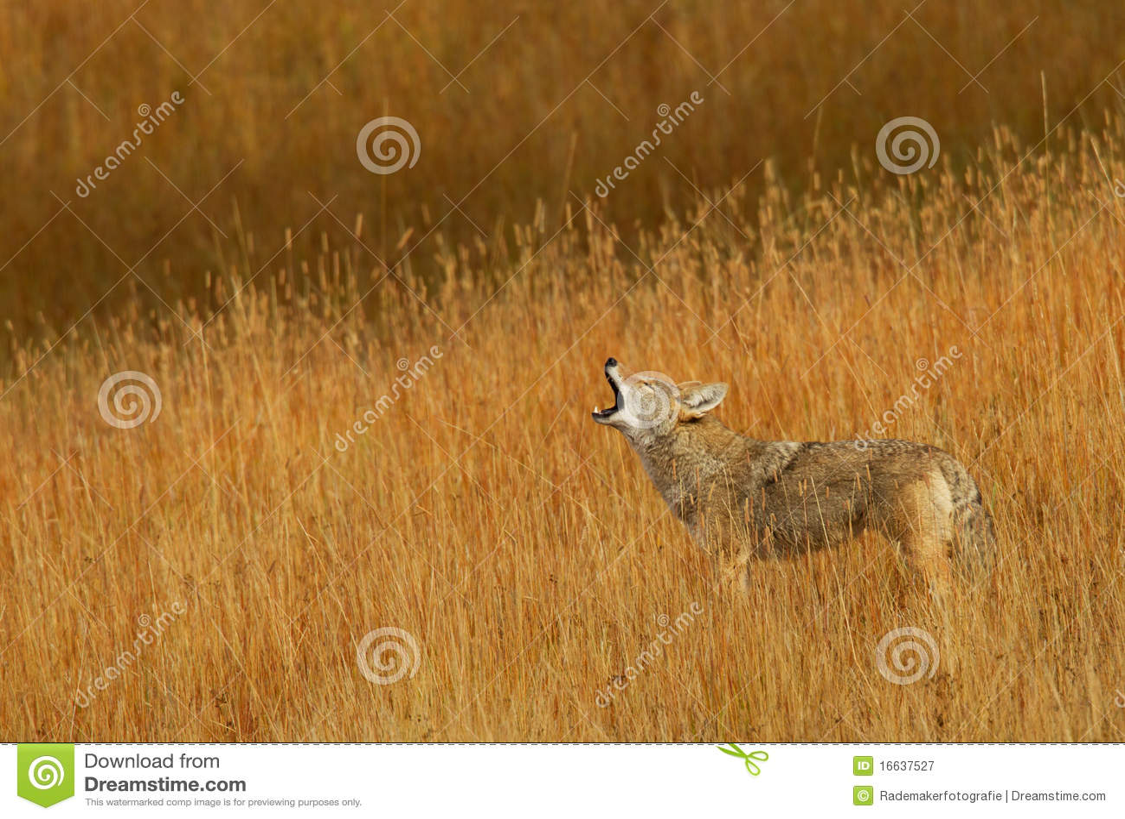 Calling Coyote
