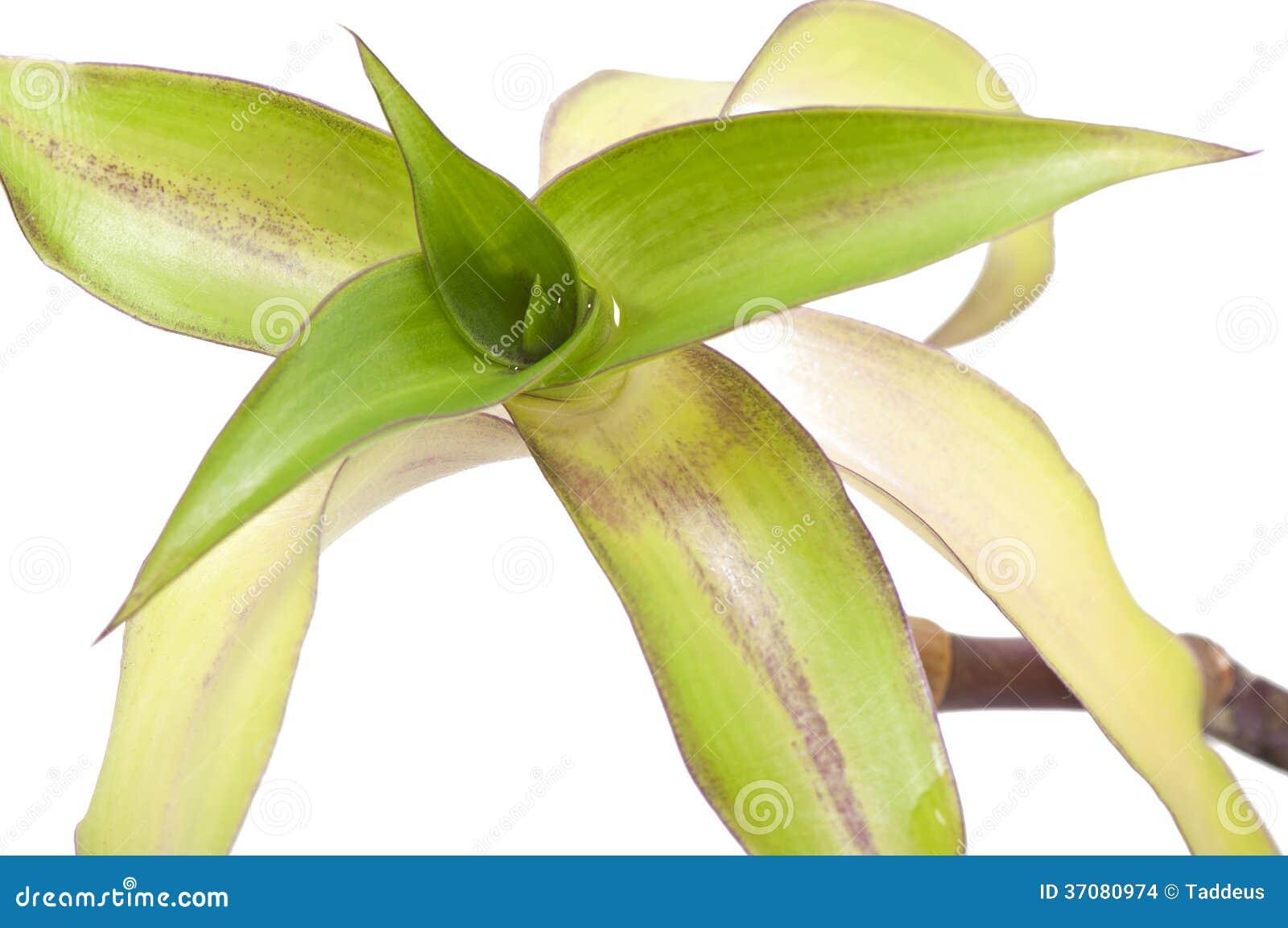Download Callisia fragrans zdjęcie stock. Obraz złożonej z medycyna - 37080974