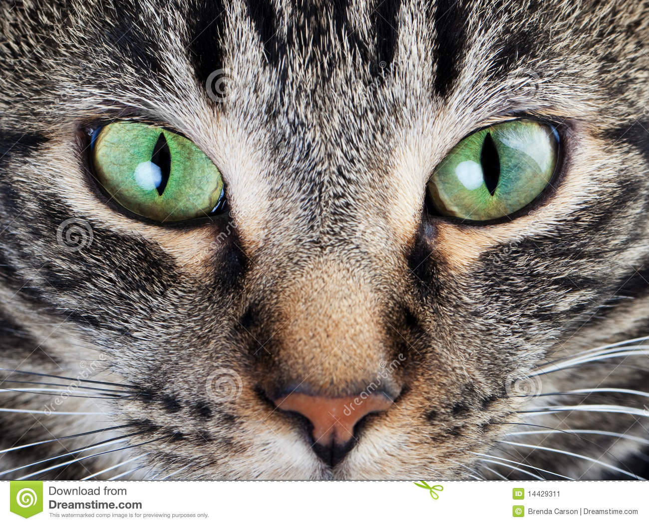 ... shot of a young tabby cat's face. Focus on his gorgeous green eyes