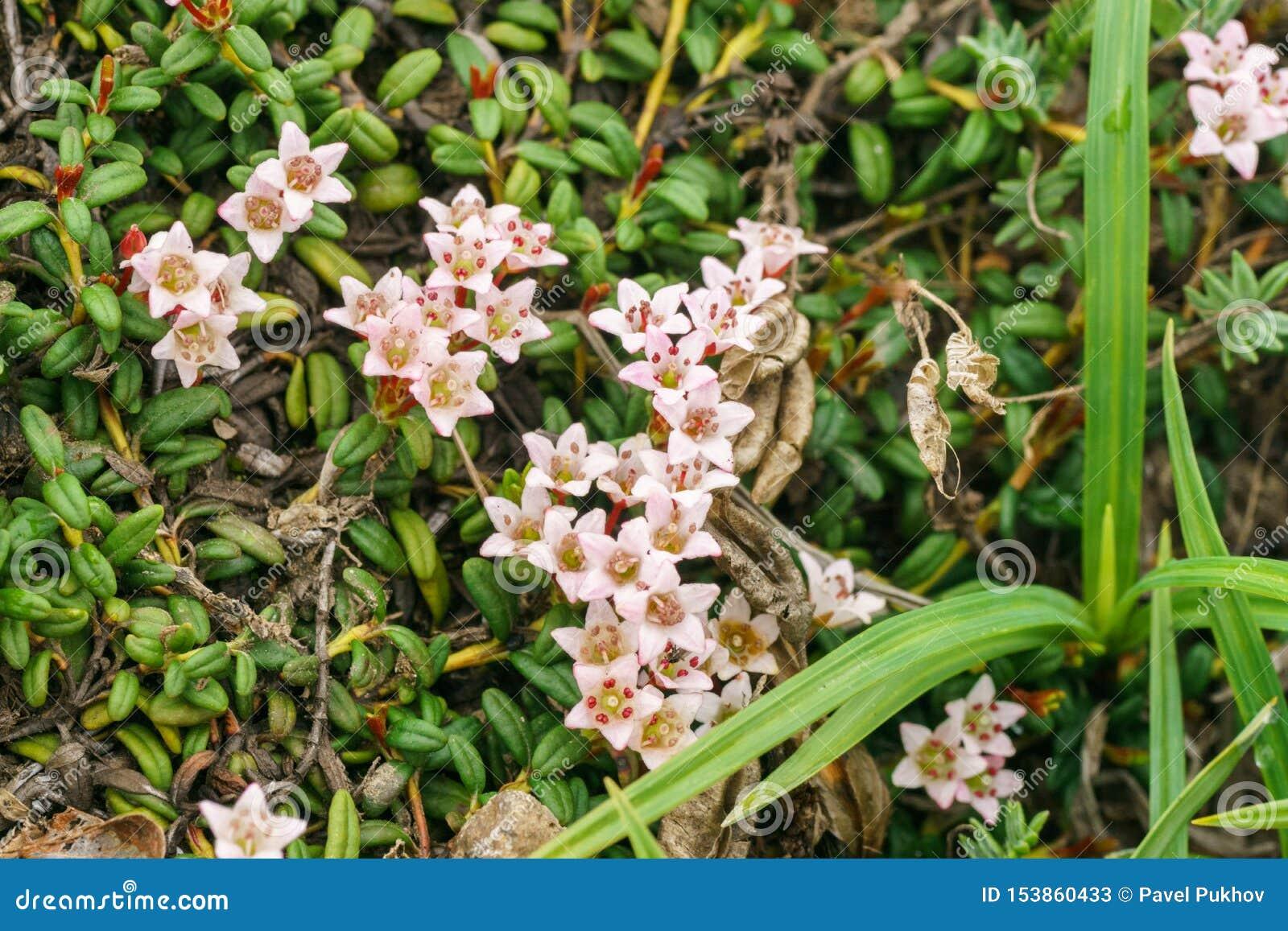 Calmia die lat liggen Kalmia procumbens - een type van bosrijke installaties van de heidefamilie Ericaceae