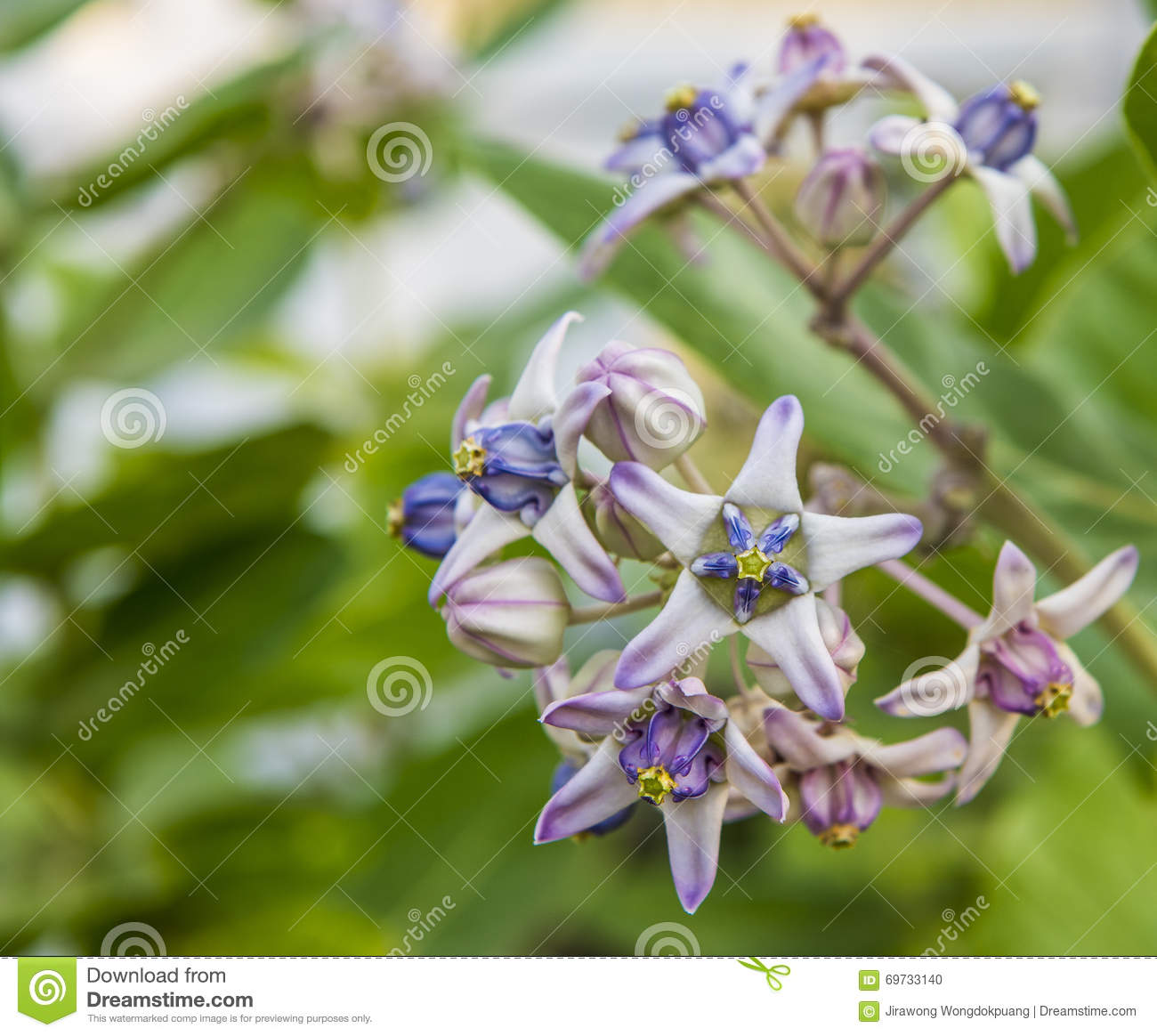 Calotropis Colorful White And Purple Flower Crown Flower Stock