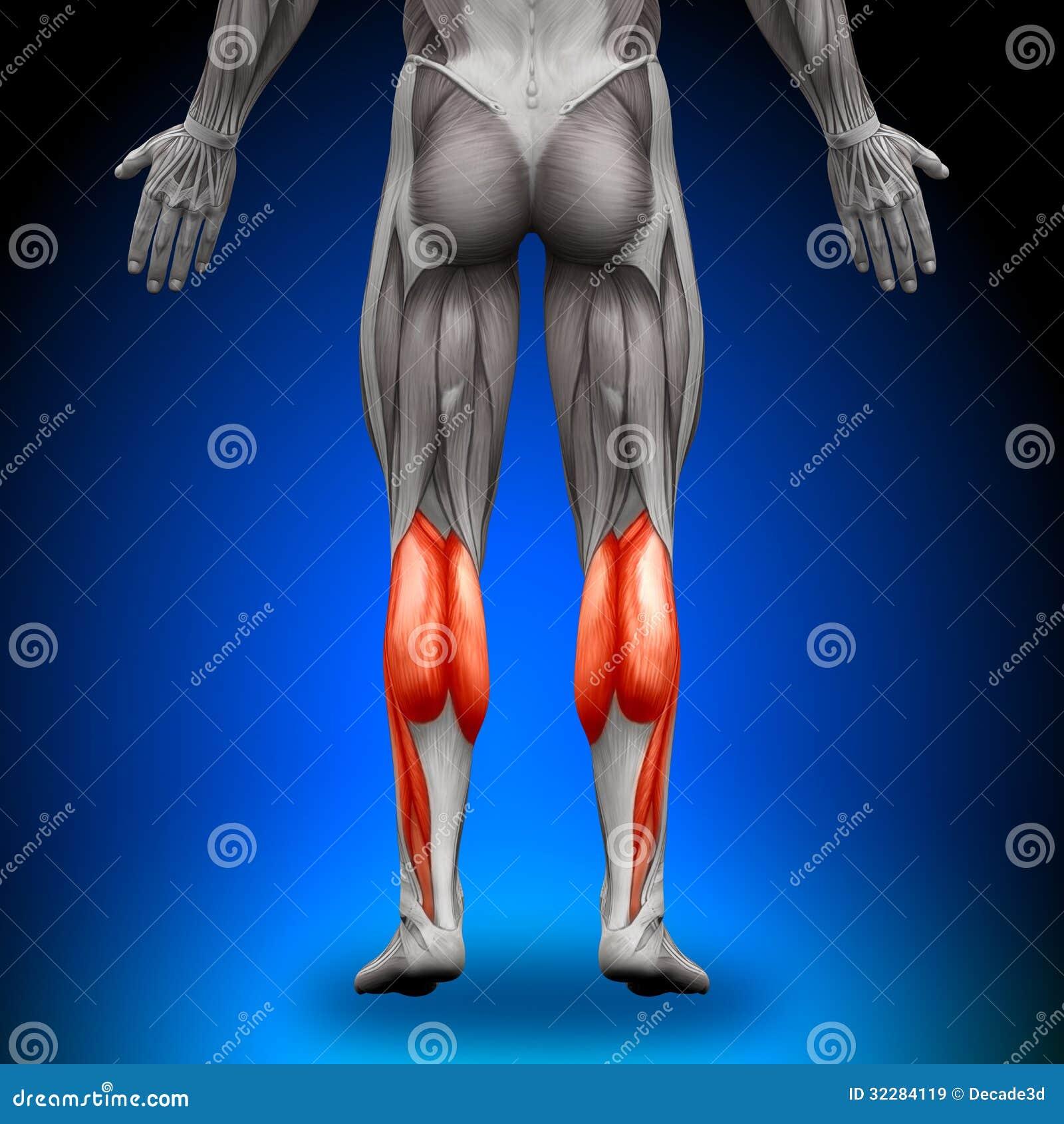 Calves - Anatomy Muscles stock illustration. Illustration of forearm ...