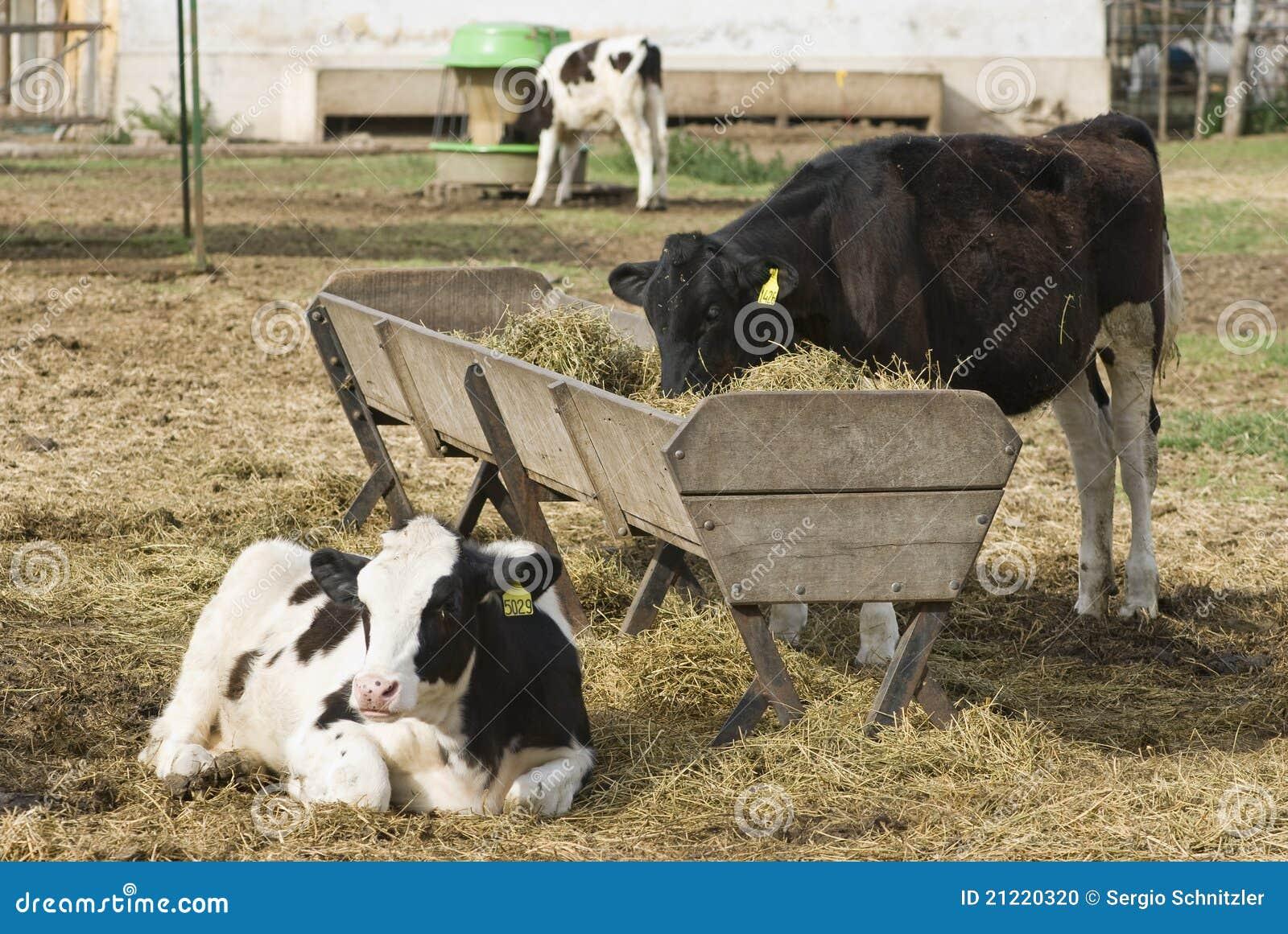 Как сделать кормушку для теленка