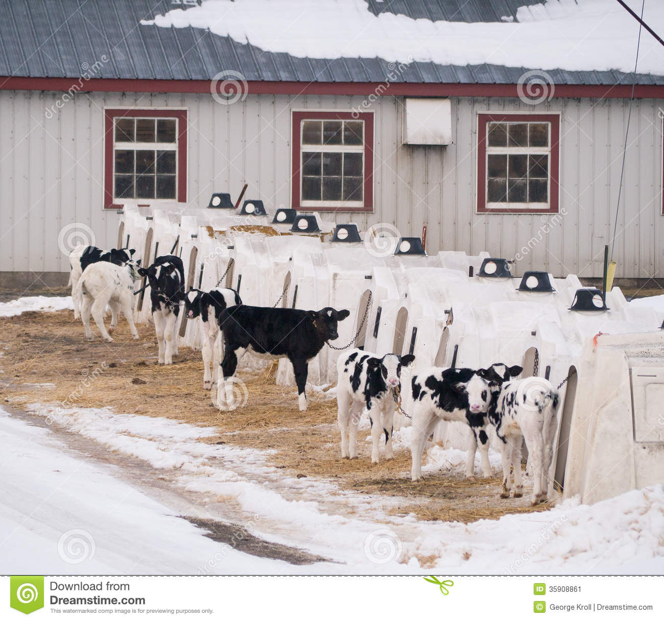 Calves in shelters