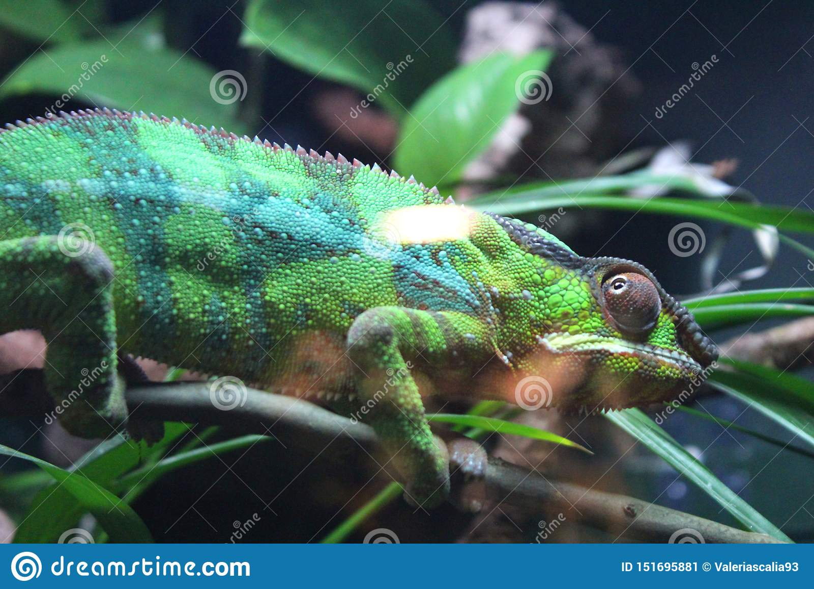 Caméléon rayé vert sur une branche