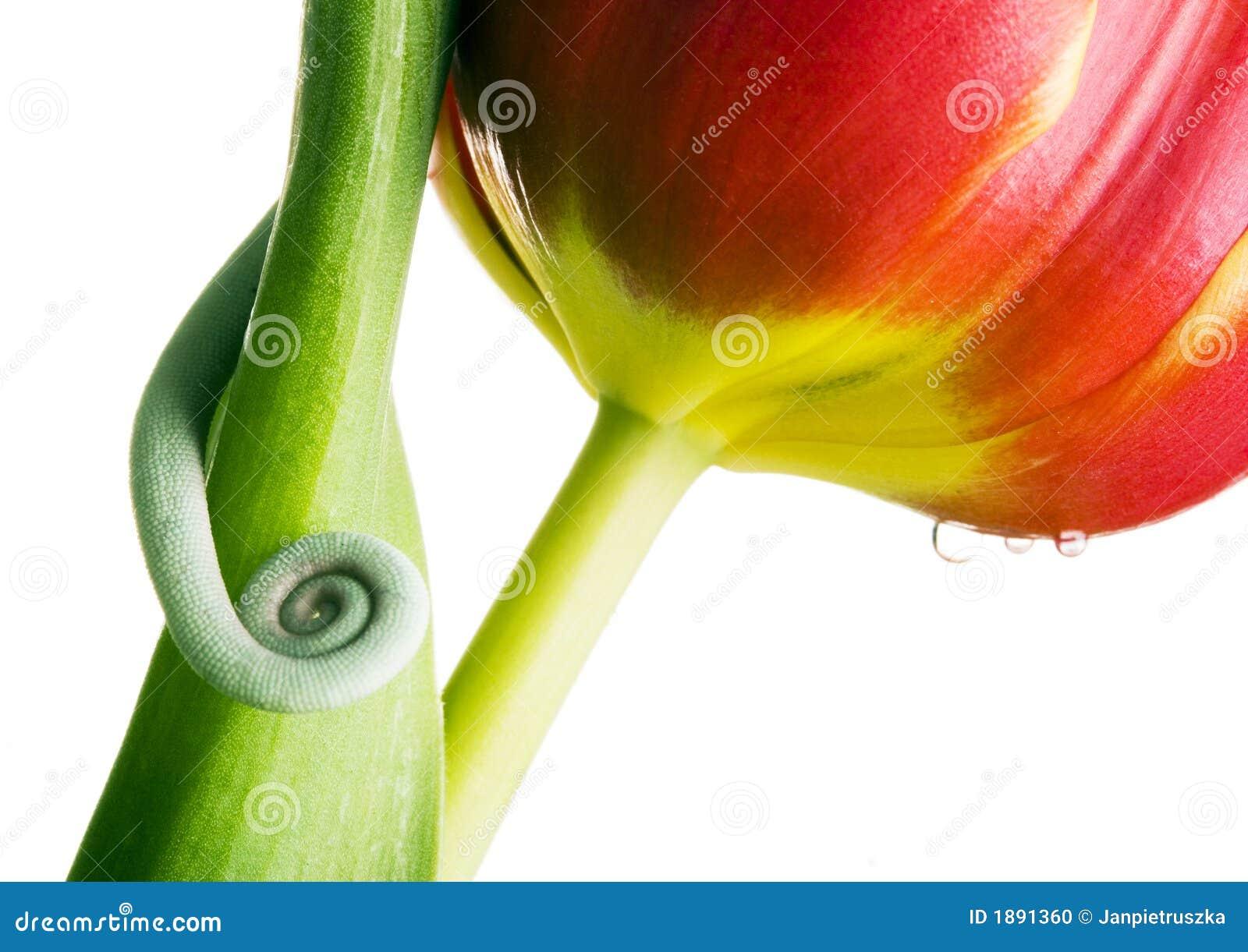 Caméléon sur la tulipe
