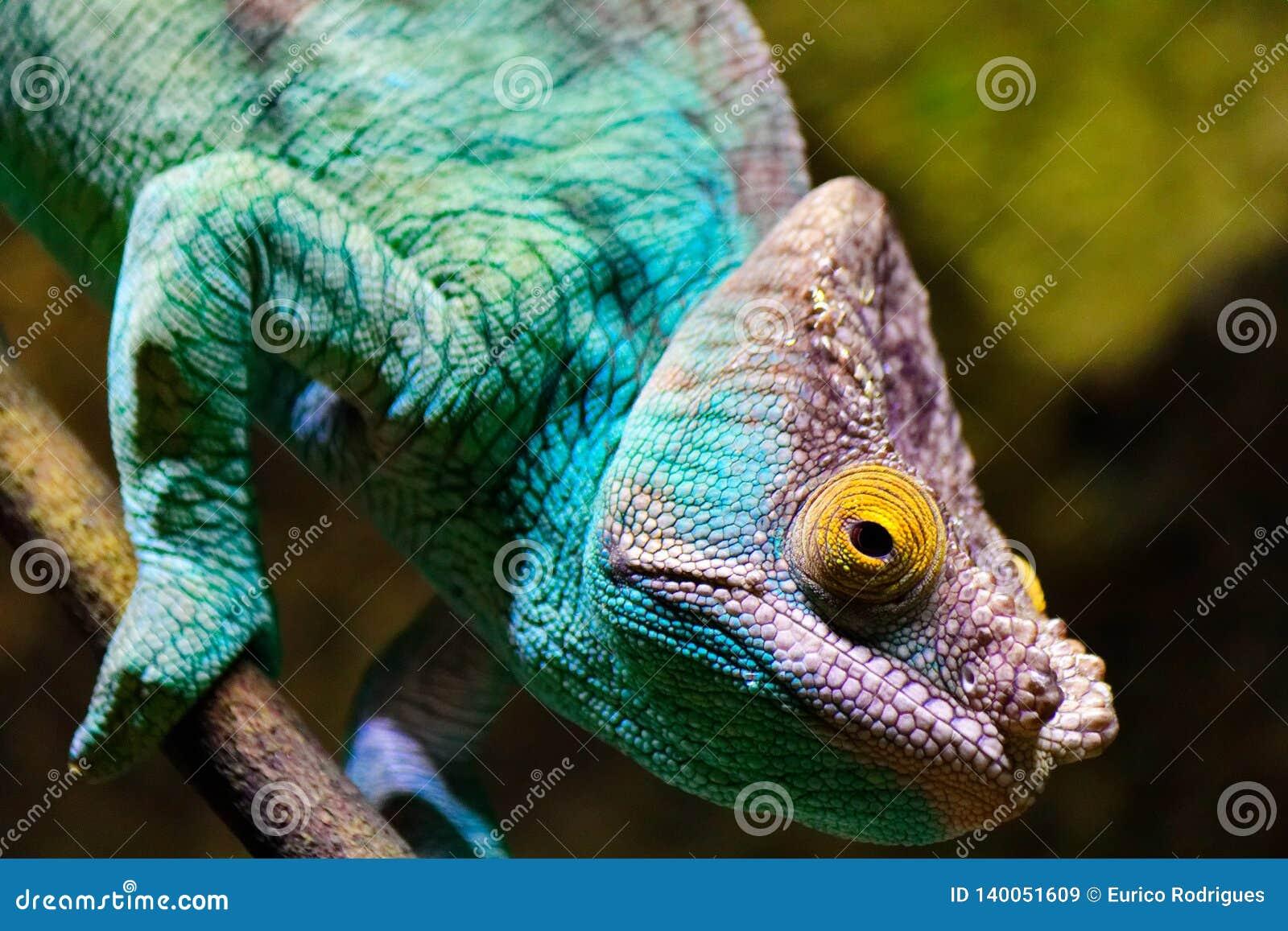 Caméléon, vision stéréoscopique, bleu de turquoise et pourpre